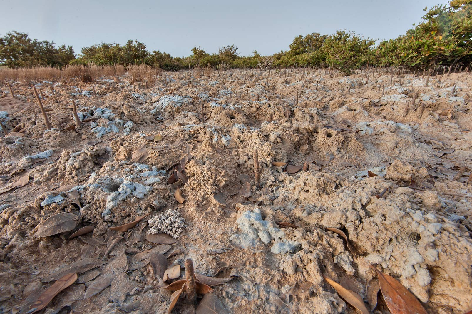 Muddy soil of mangrove forest exposed at low tide...Jazirat Bin Ghanim). Al Khor, Qatar