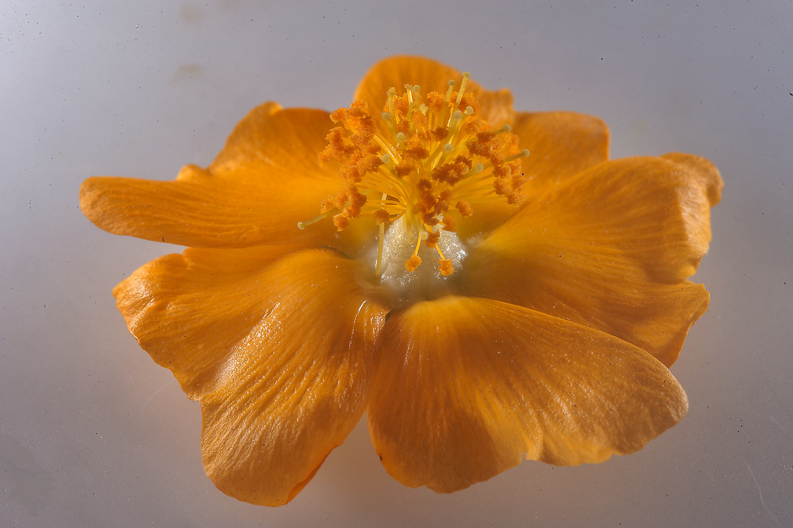 Close up of a flower of Abutilon figarianum on...Al Sham St. in West Bay. Doha, Qatar