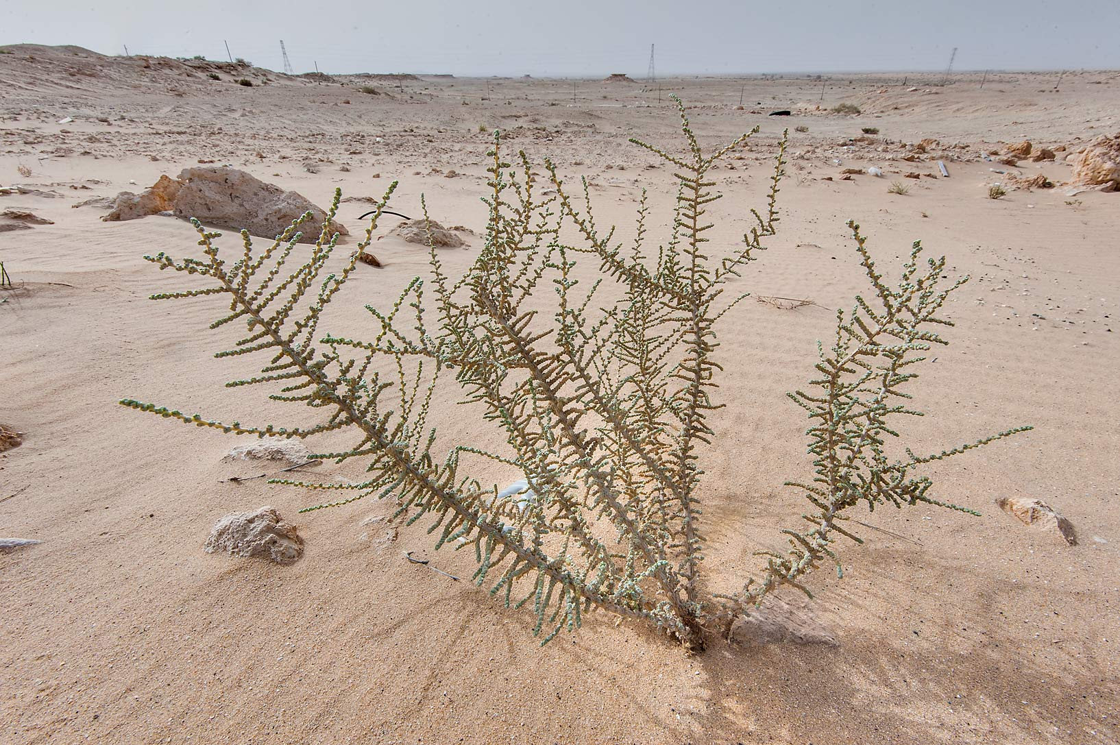 Salsola cyclophylla in windblown sand on roadside...area of Rawdat Ekdaim. Southern Qatar
