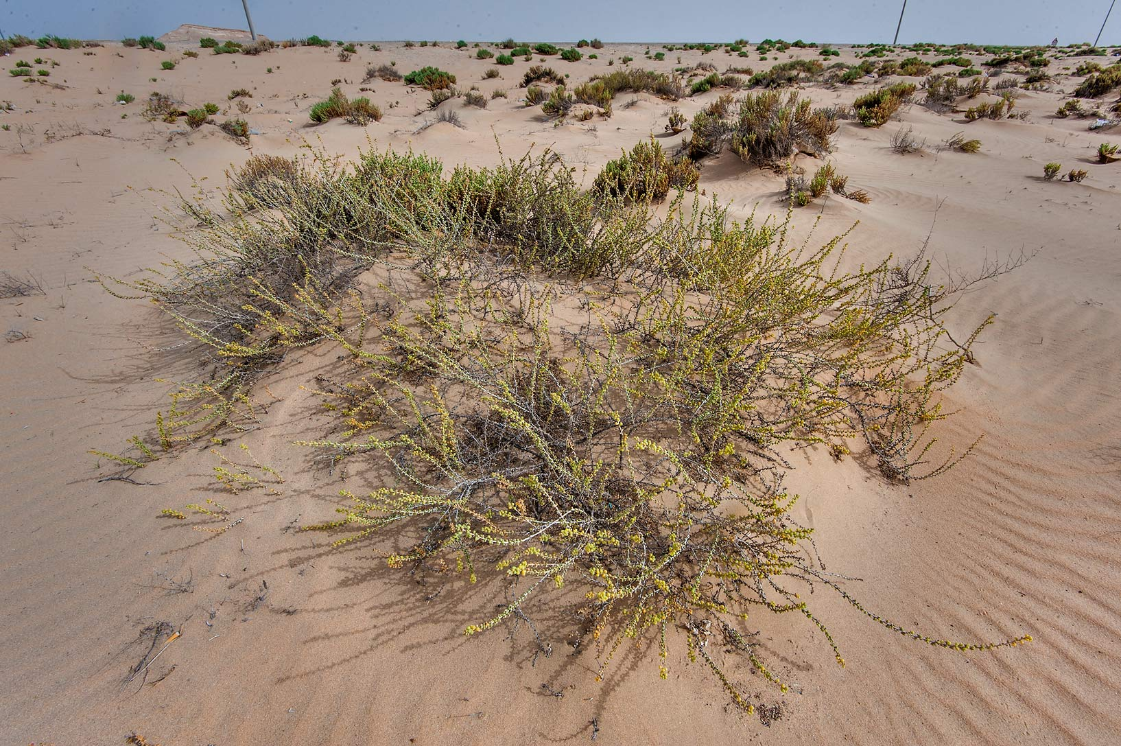 Salsola drummondii in sand mound on roadside of...area of Rawdat Ekdaim. Southern Qatar