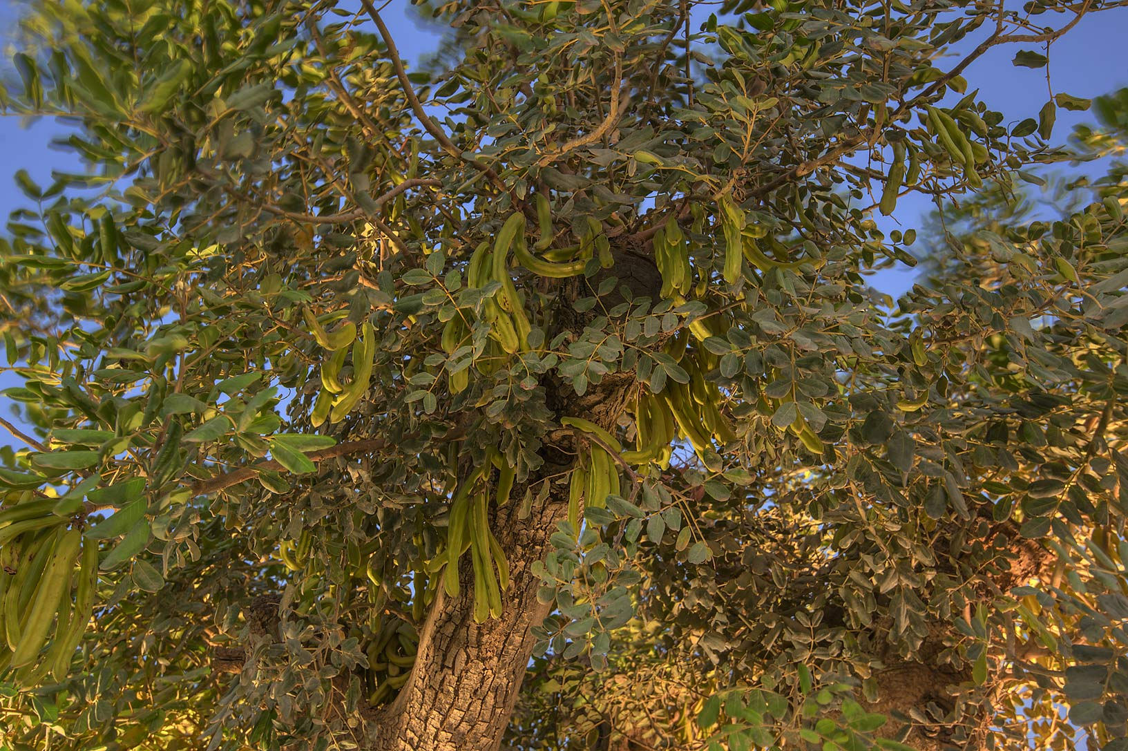 Carob tree (Ceratonia siliqua) with fruits in Aspire Park. Doha, Qatar