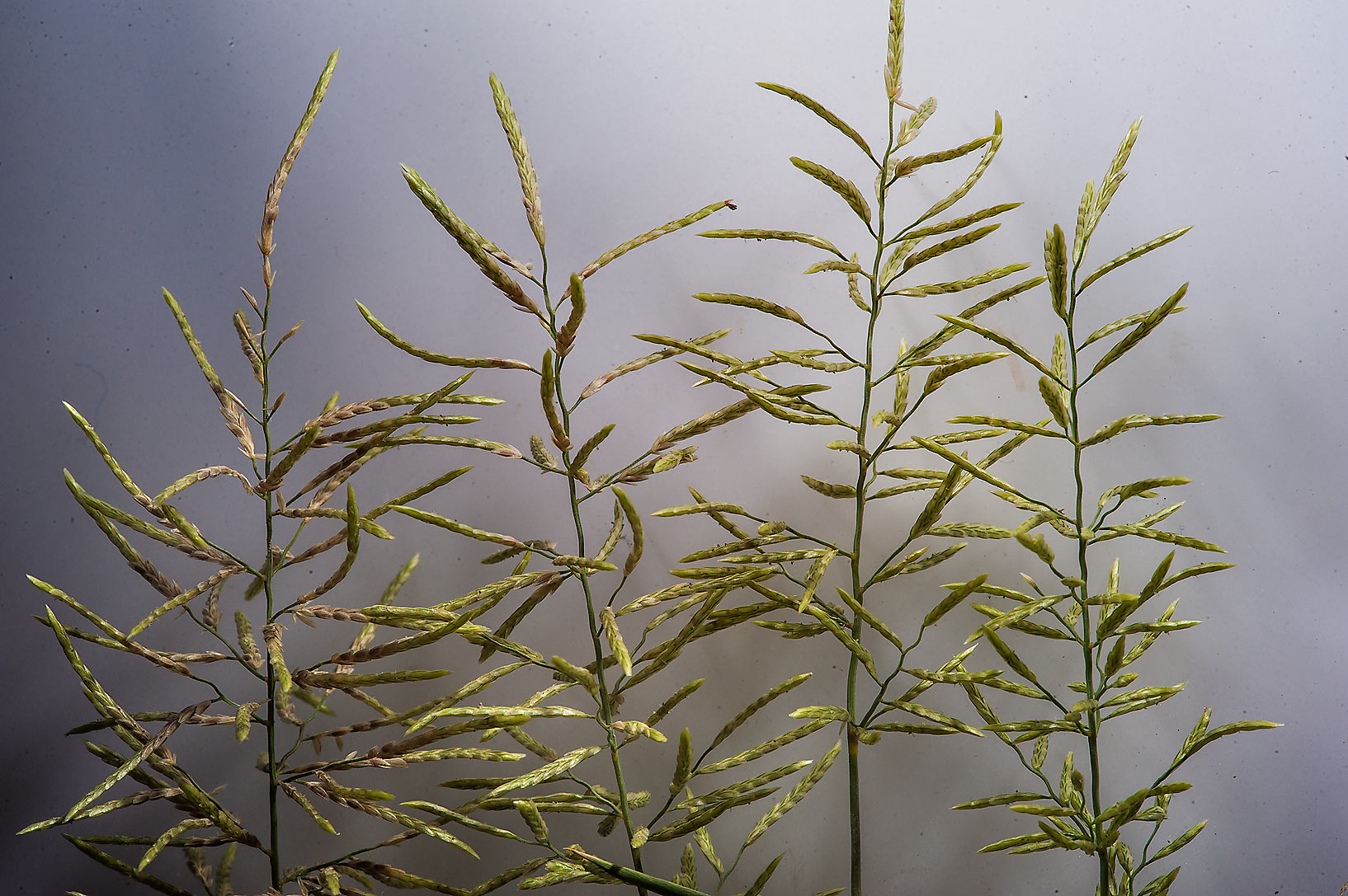 Spikelets of annual lovegrass (Eragrostis...St. Street in Onaiza area. Doha, Qatar