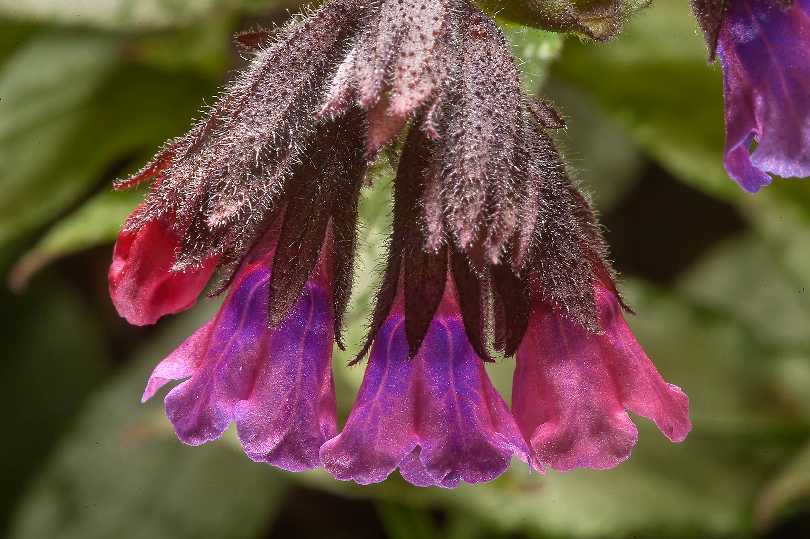 Flowers of Lungwort (Pulmonaria, Russian name...Institute. St.Petersburg, Russia