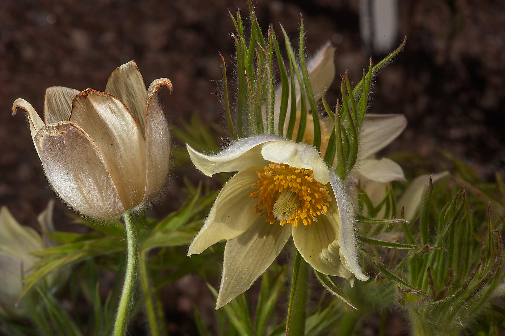 Yellow eastern pasque flower (Pulsatilla...Institute. St.Petersburg, Russia