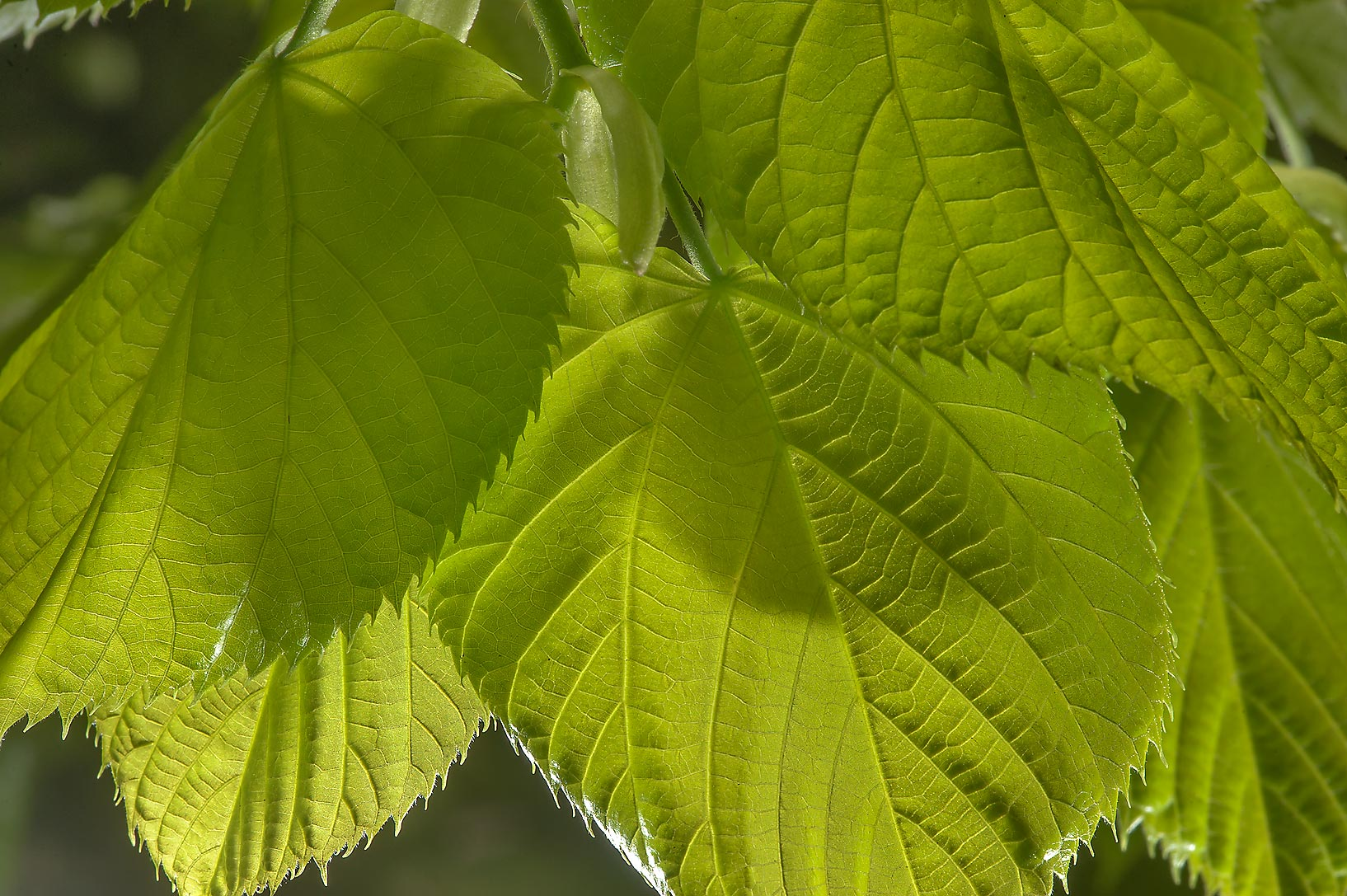 Leaves of linden in Botanic Gardens of Komarov Botanical Institute. St.Petersburg, Russia