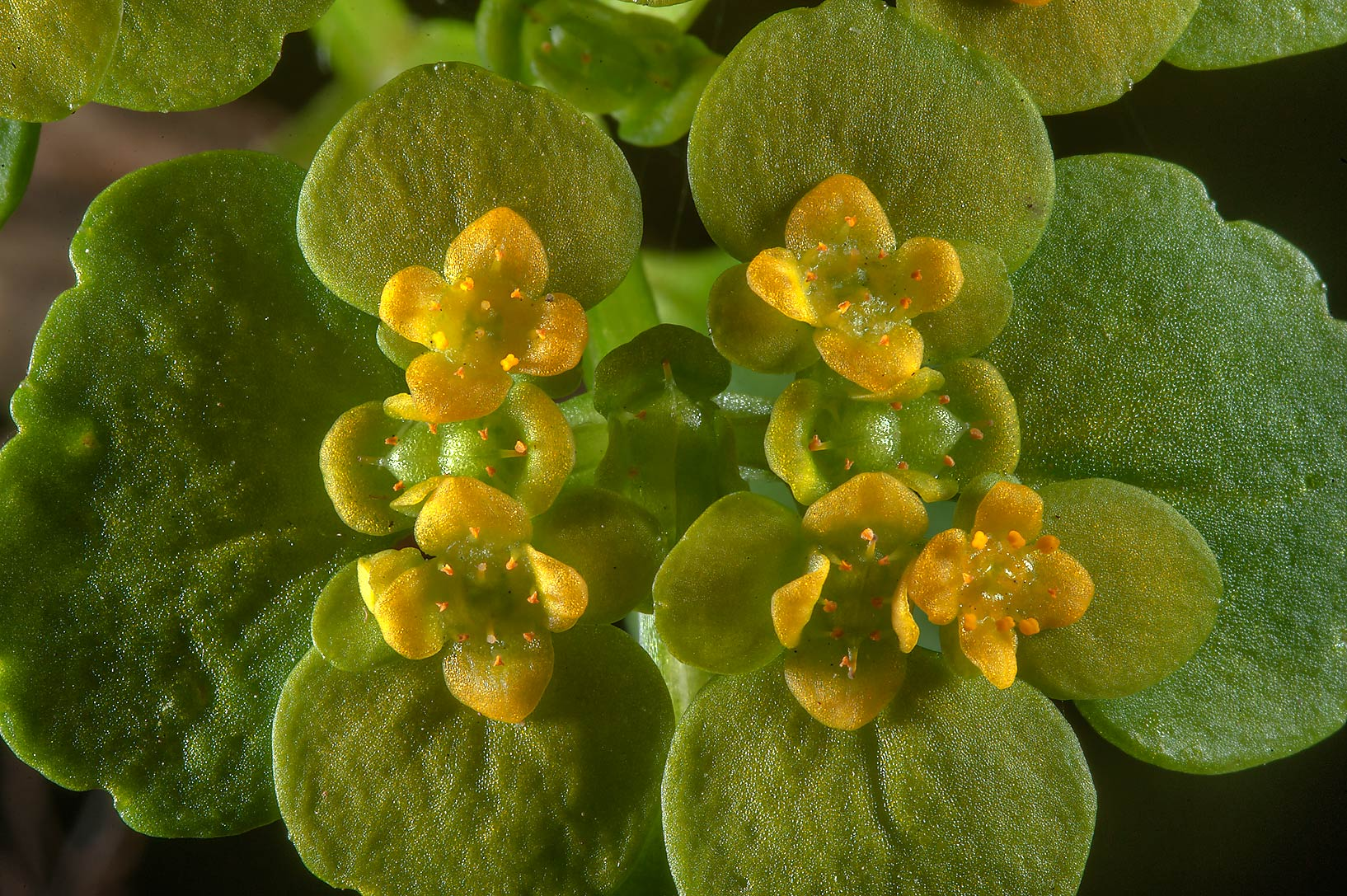 Close up of Alternate-leaved Golden Saxifrage...suburb of St.Petersburg, Russia