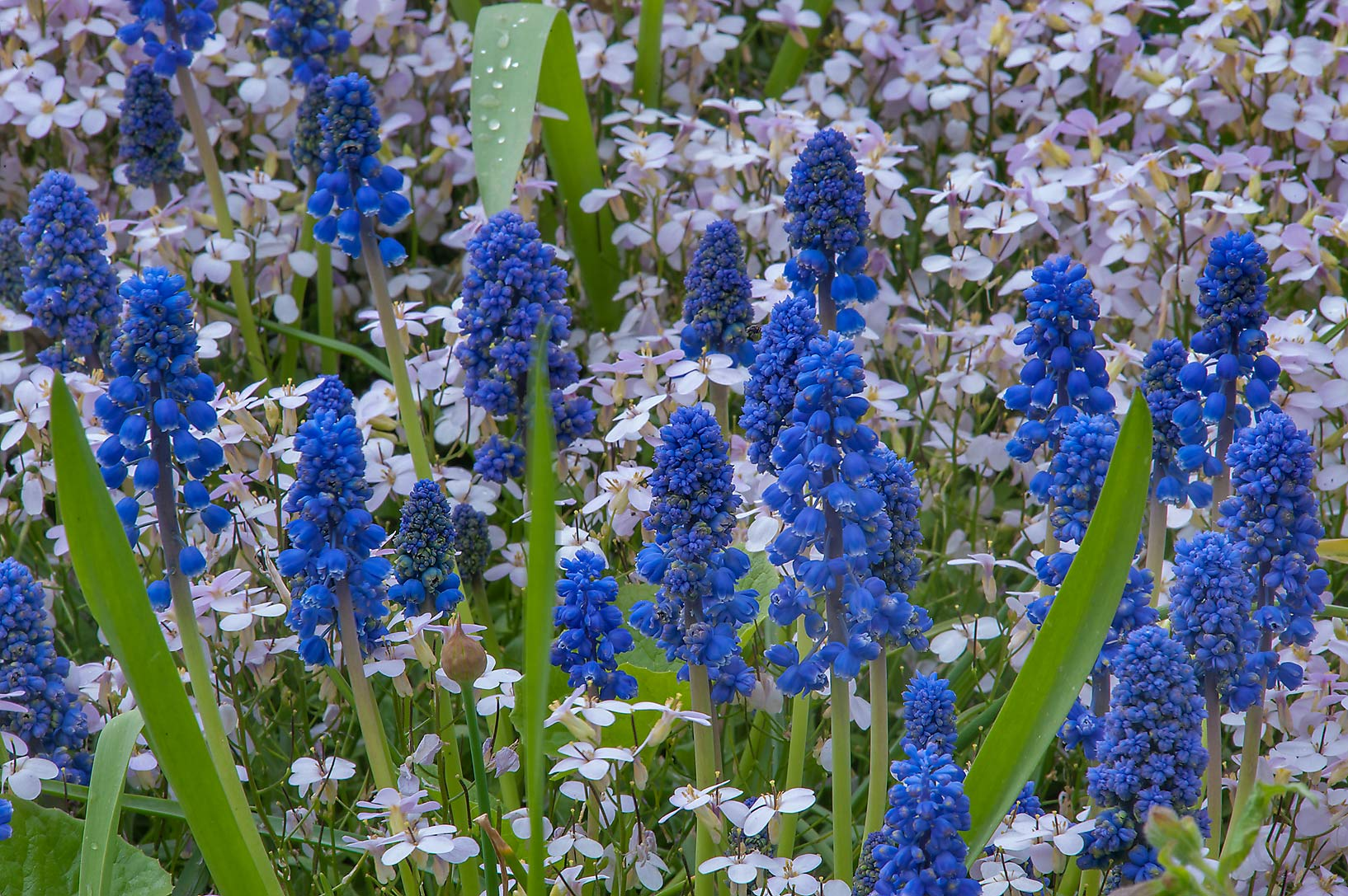 Blue flowers of grape hyacinth (Muscari) in...Institute. St.Petersburg, Russia