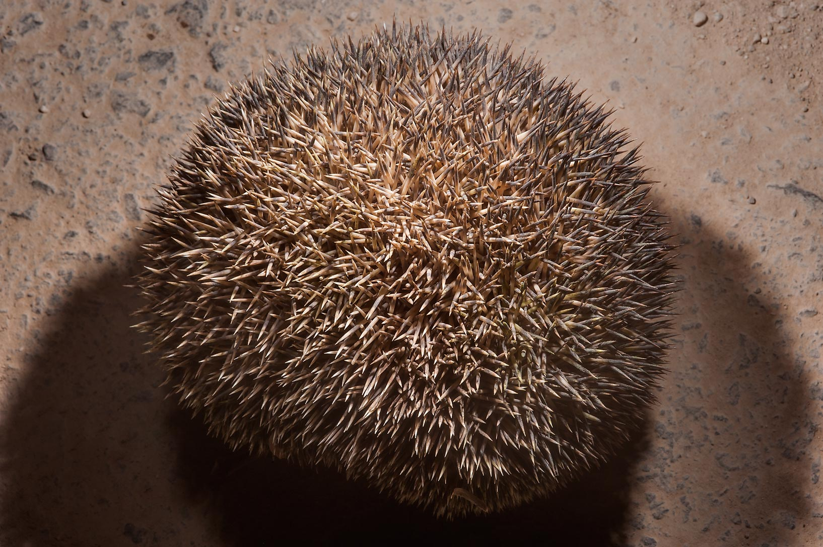 Ethiopian hedgehog (Paraechinus aethiopicus...Natural History Group (QNHG). Qatar