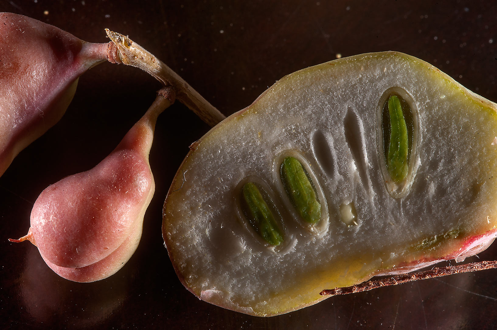 Dissected pod with seeds of Syrian mesquite...RAFRS) near Al Zubara Rd.. Qatar