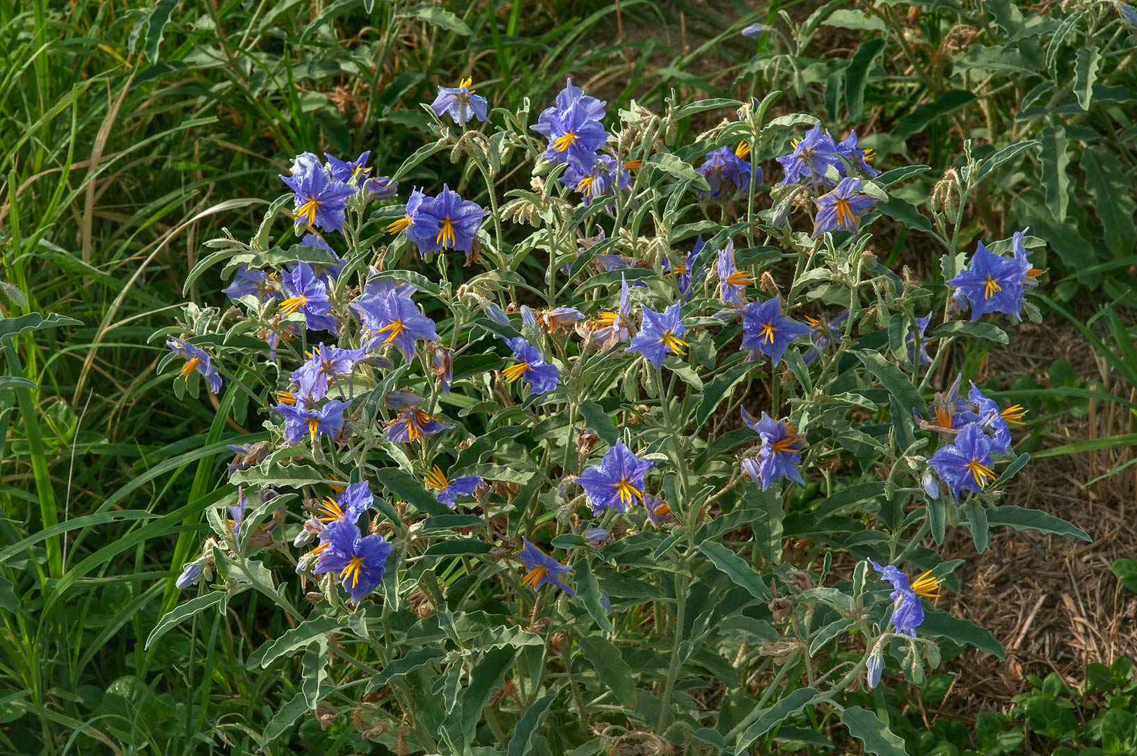 Silverleaf nightshade (Solanum elaeagnifolium) on...in Irkhaya (Irkaya) Farms. Qatar