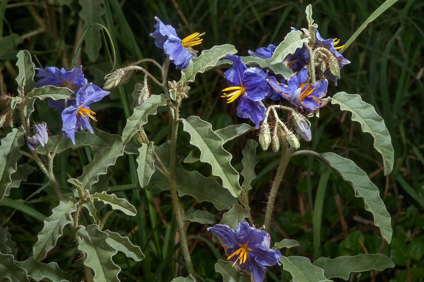 Blooming plants of silverleaf nightshade (Solanum...in Irkhaya (Irkaya) Farms. Qatar