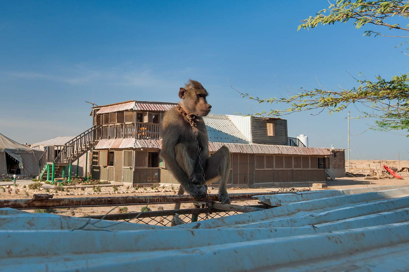 Black rhesus macaque monkey chained at the...Thugab Fort. North-west coast, Qatar