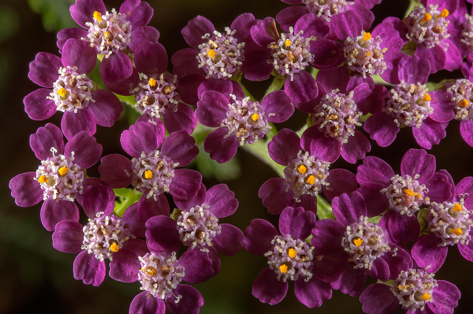 Purple flowers of milfoil (Achillea millefolium...Institute. St.Petersburg, Russia