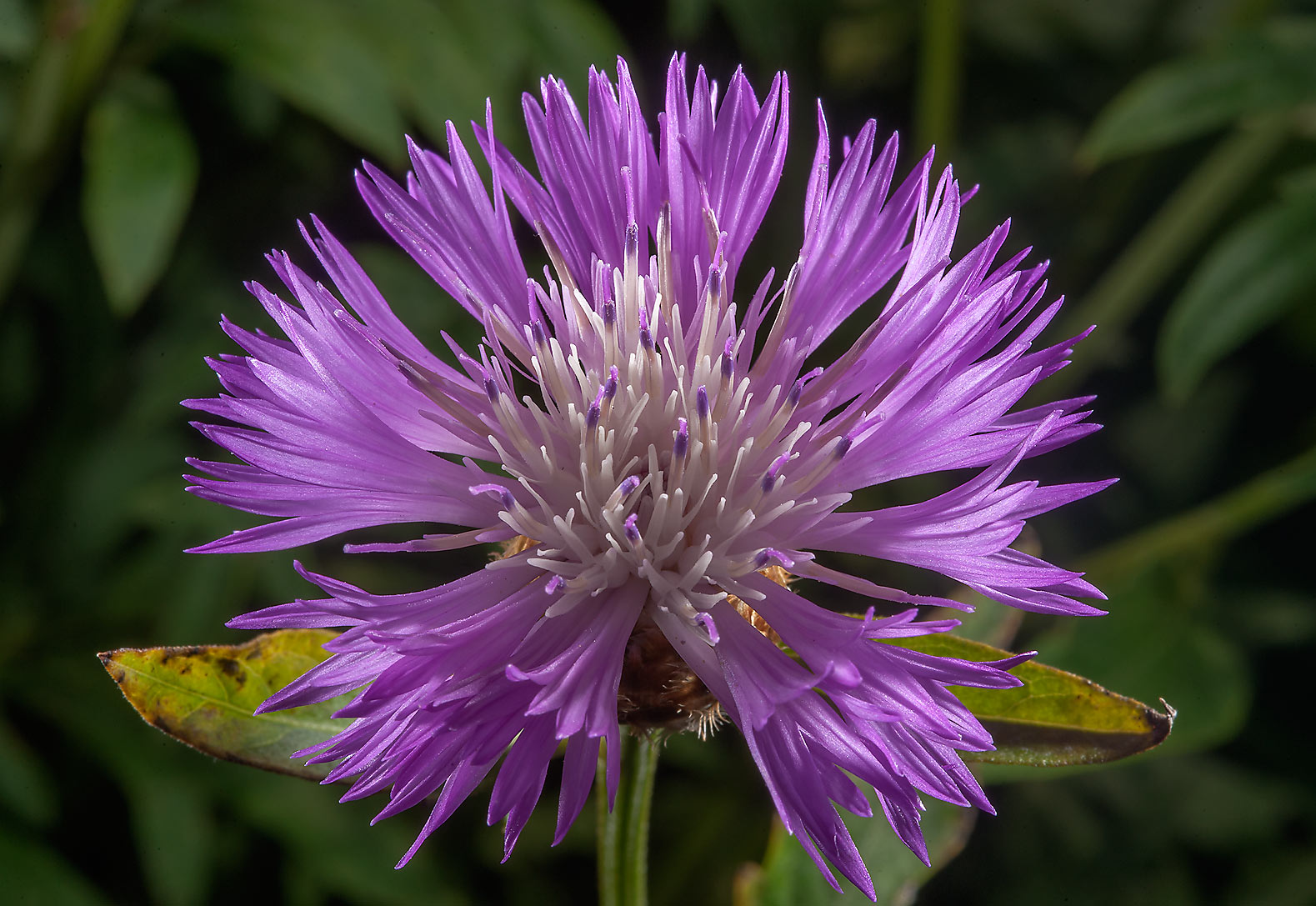 Flower of blue thistle in Botanic Gardens of...Institute. St.Petersburg, Russia