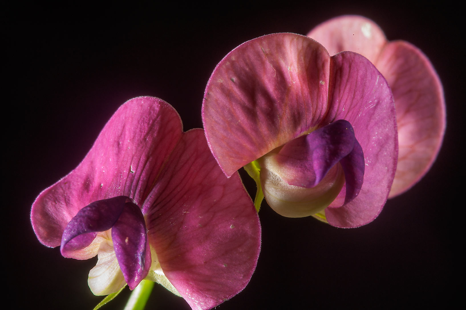 Pink flowers of narrow-leaved everlasting-pea...north from St.Petersburg. Russia