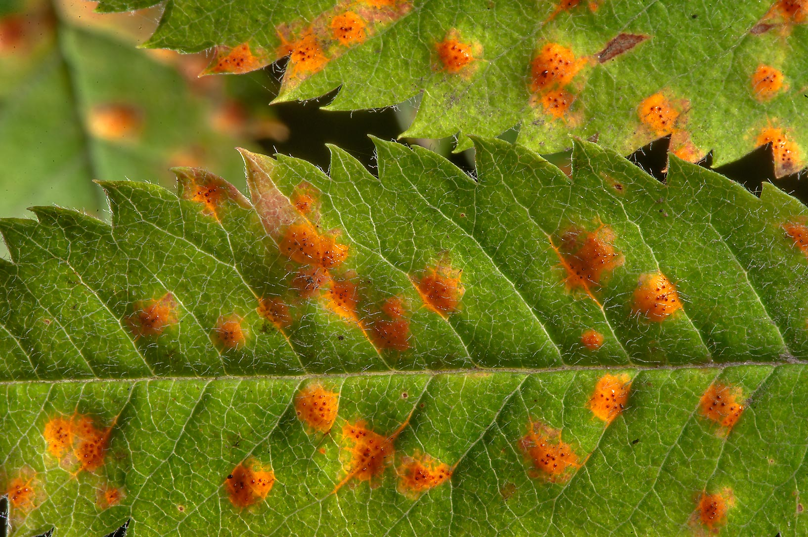Orange spots on leaves of mountain ash caused by...north from St.Petersburg. Russia