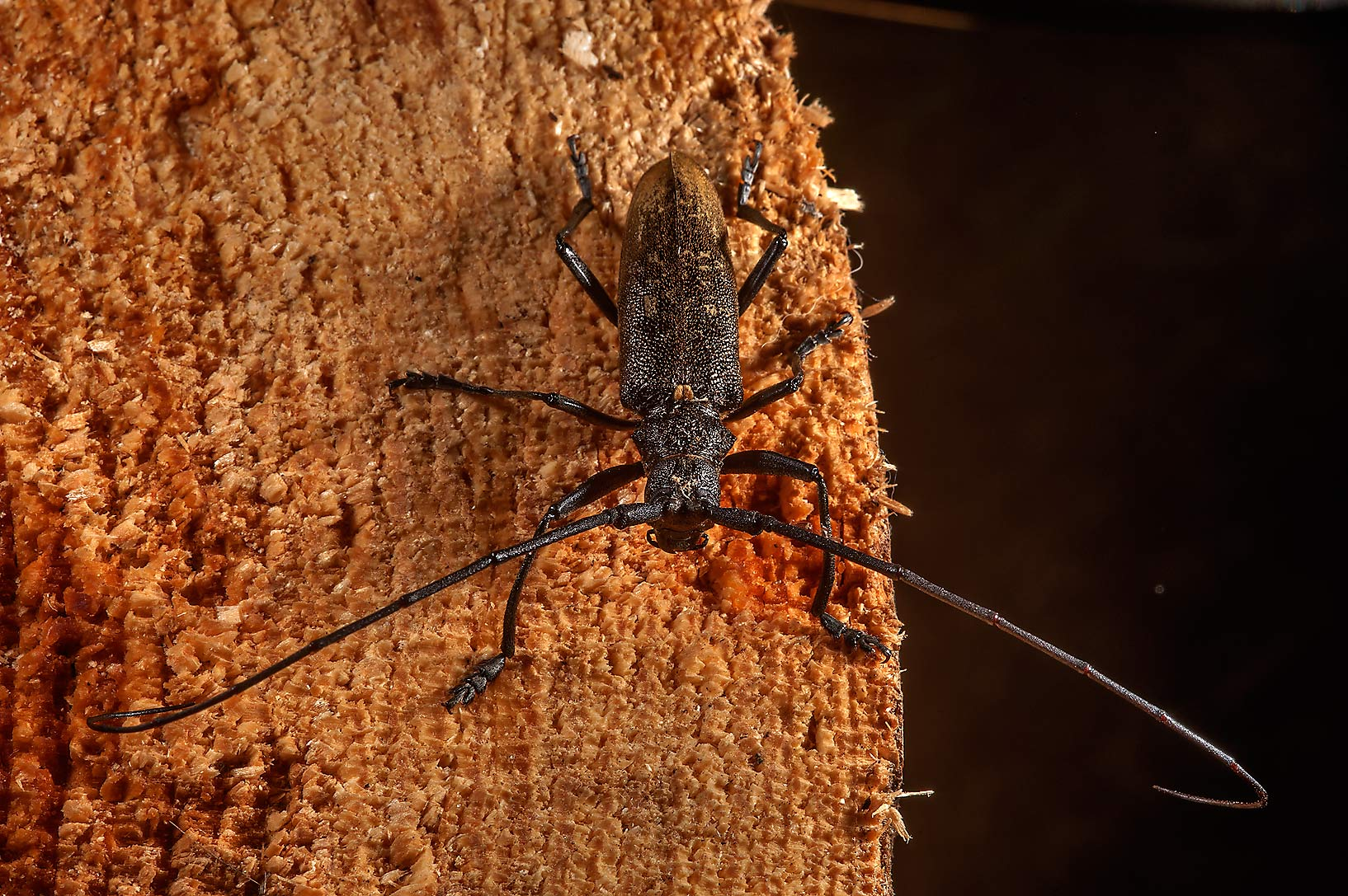 Long-horned borer beetle on a log in Posiolok...south from St.Petersburg, Russia
