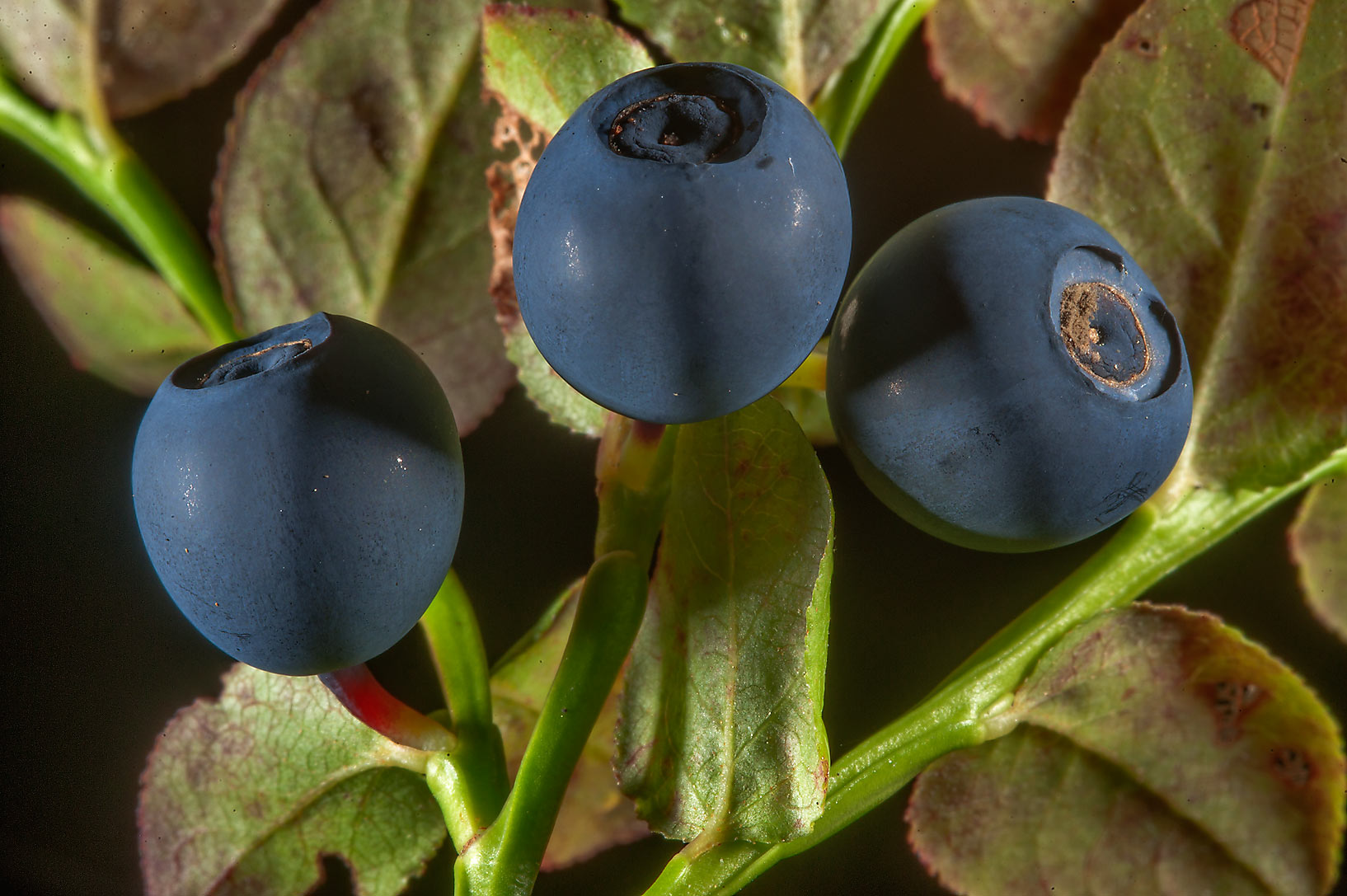 Blueberry (Chernika, Vaccinium myrtillus) in a...south from St.Petersburg, Russia