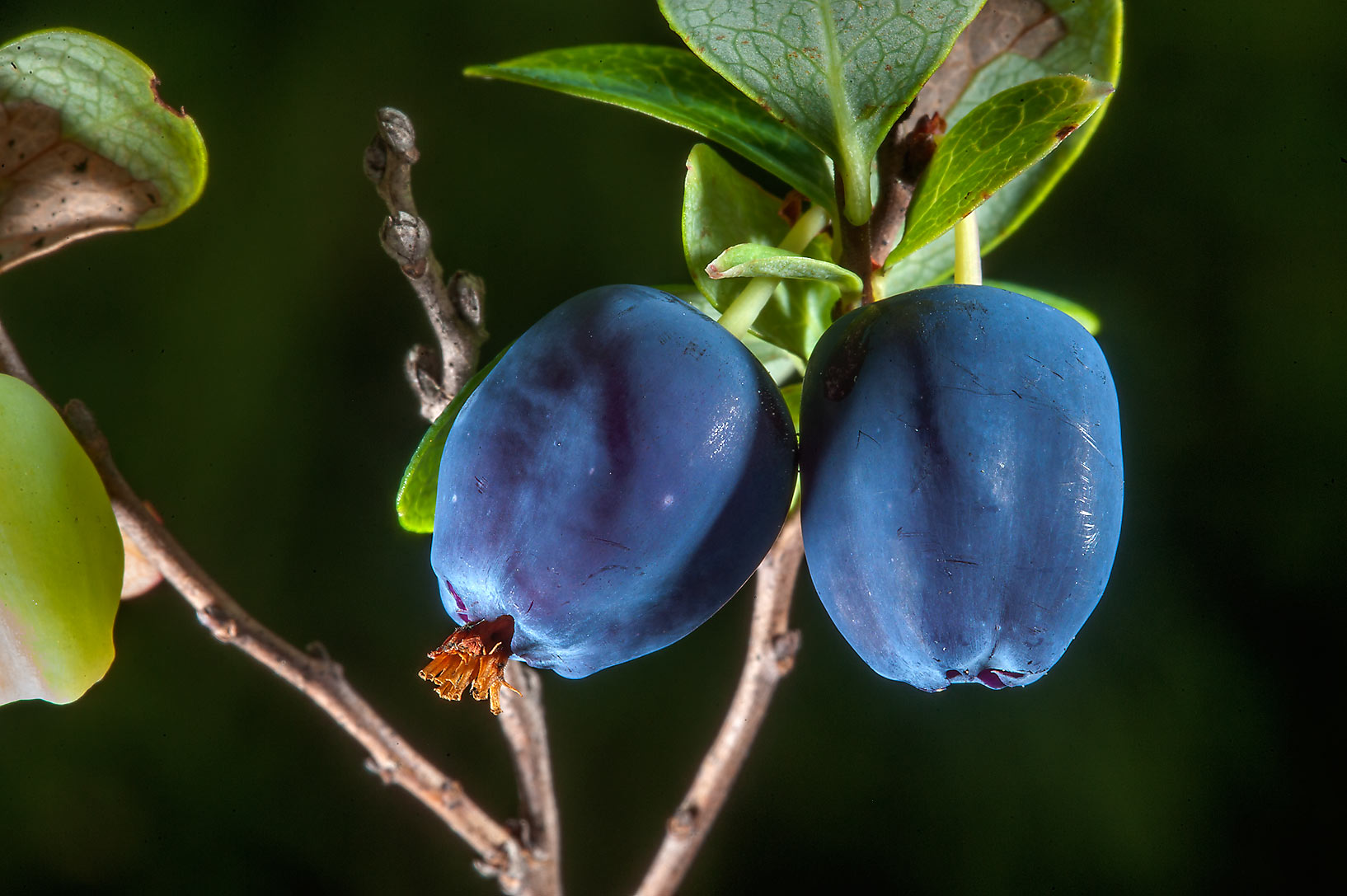 Fruits of swamp blueberry (Bog Bilberry...south from St.Petersburg, Russia
