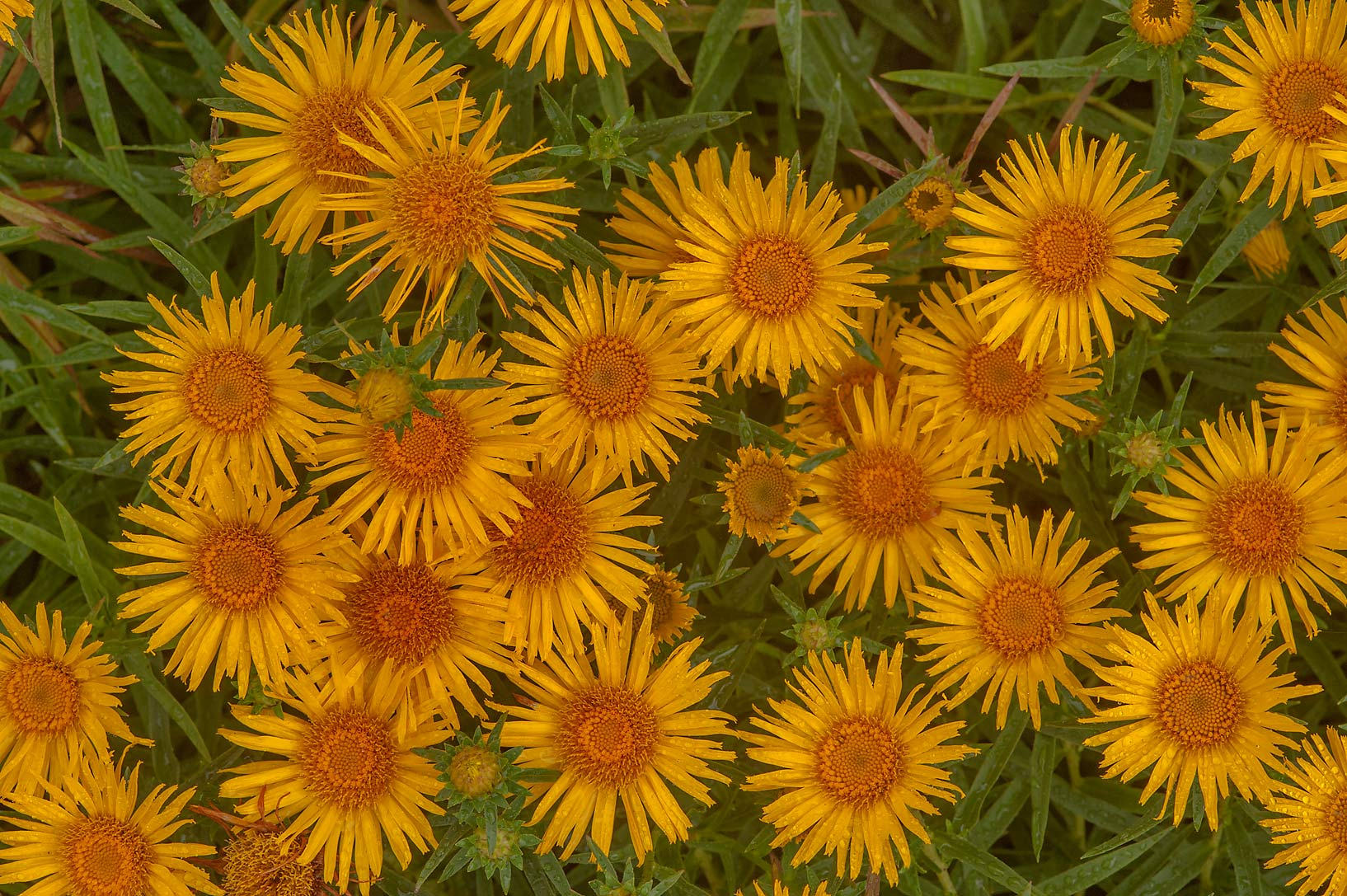 Orange flowers of Elecampagne (Deviasil, Inula...Institute. St.Petersburg, Russia