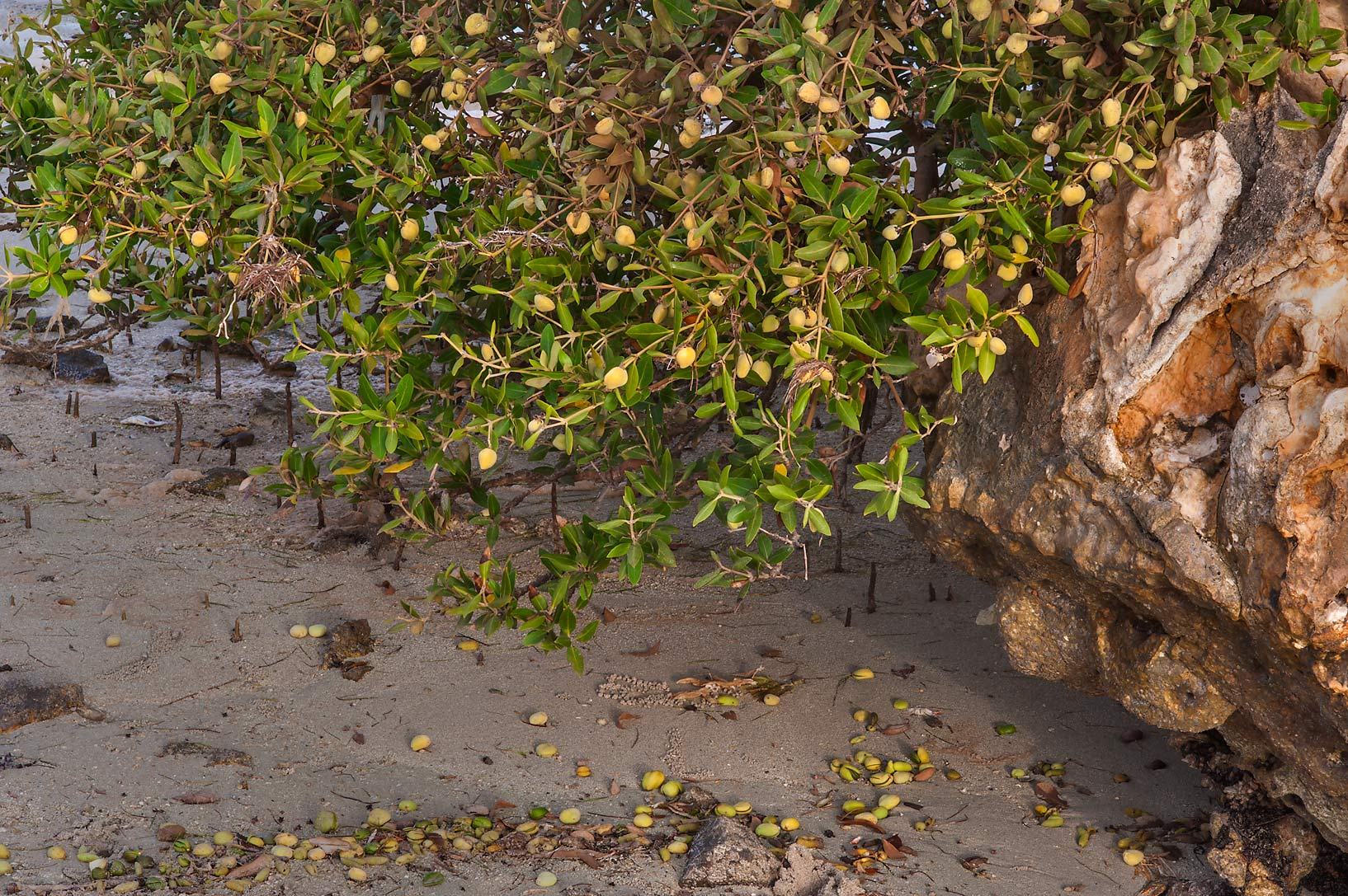 Mangrove (Avicennia marina) with fruits on Purple...Jazirat Bin Ghanim). Al Khor, Qatar