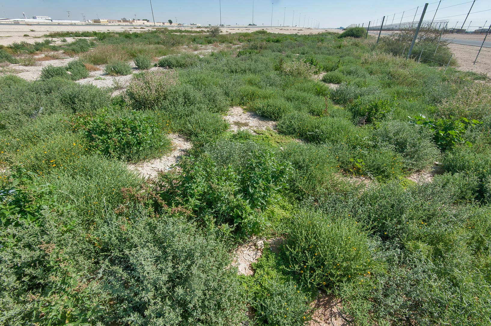 Lush vegetation in roadside depression near Dukhan Highway near Ash-Shahaniyah. Qatar