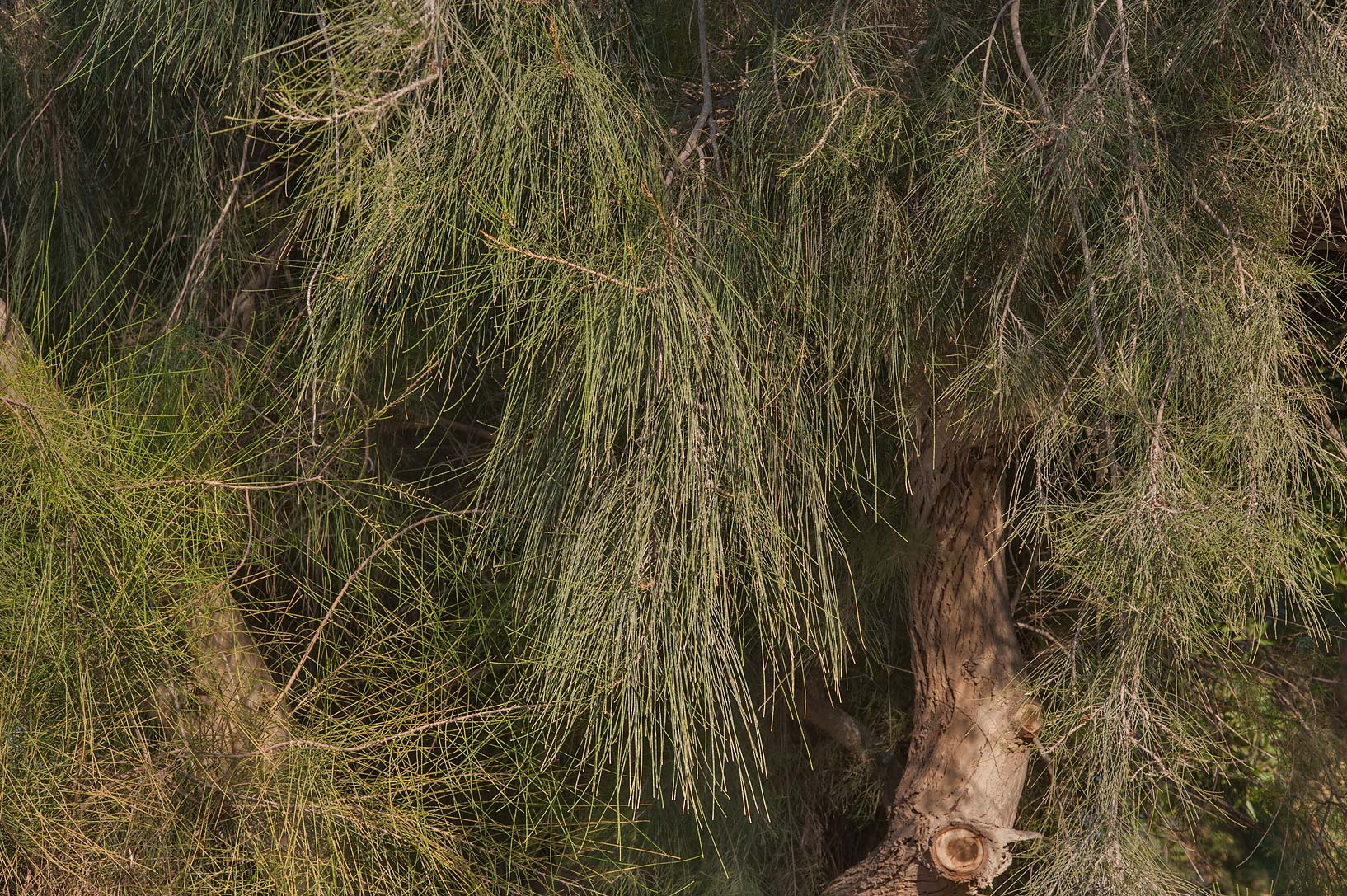 Trunk and fine greyish green needle-like foliage...City Park. Ruwais, Northern Qatar