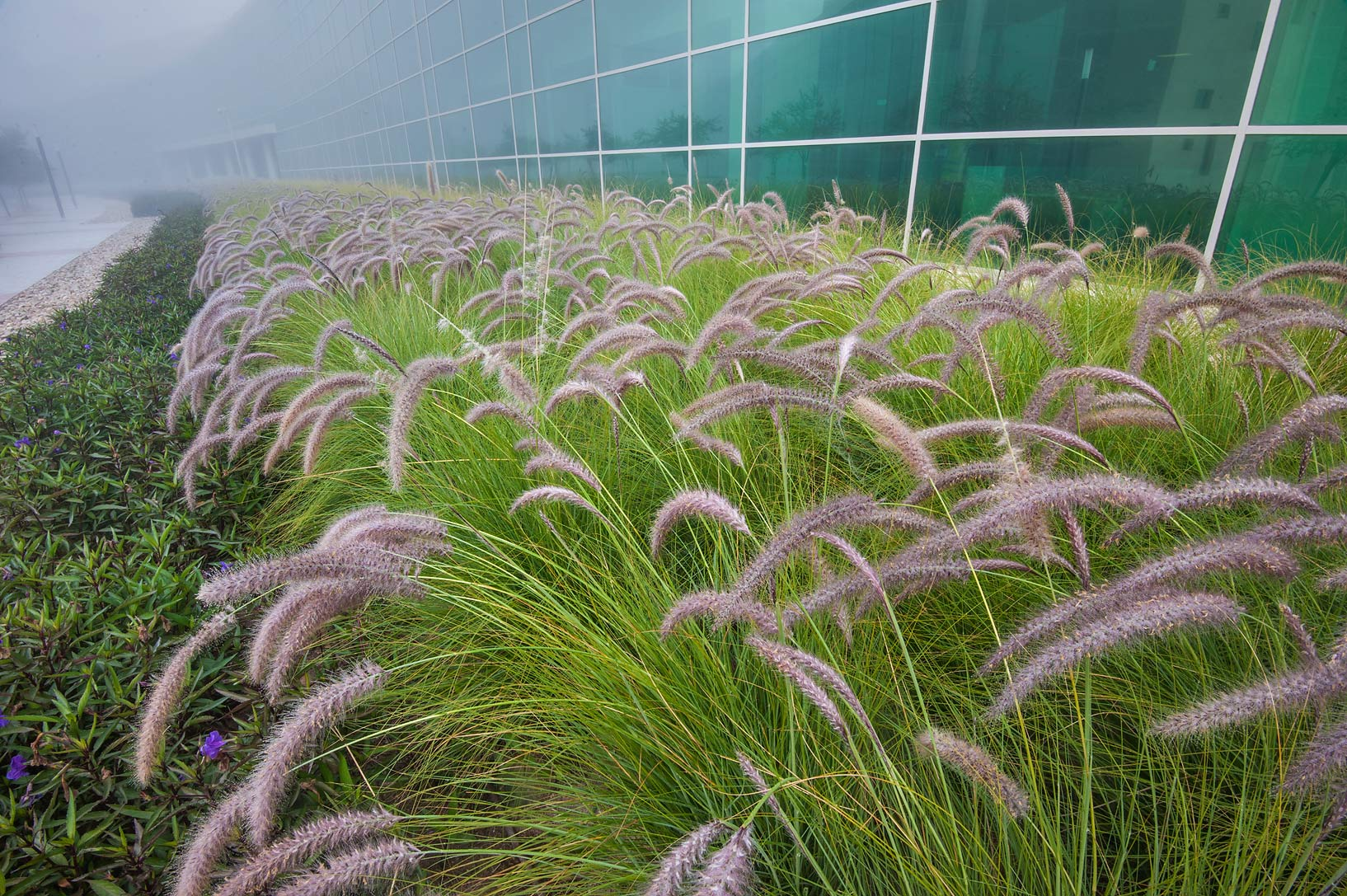 Fountain grass (Pennisetum setaceum) planted near...Complex in Education City. Doha, Qatar