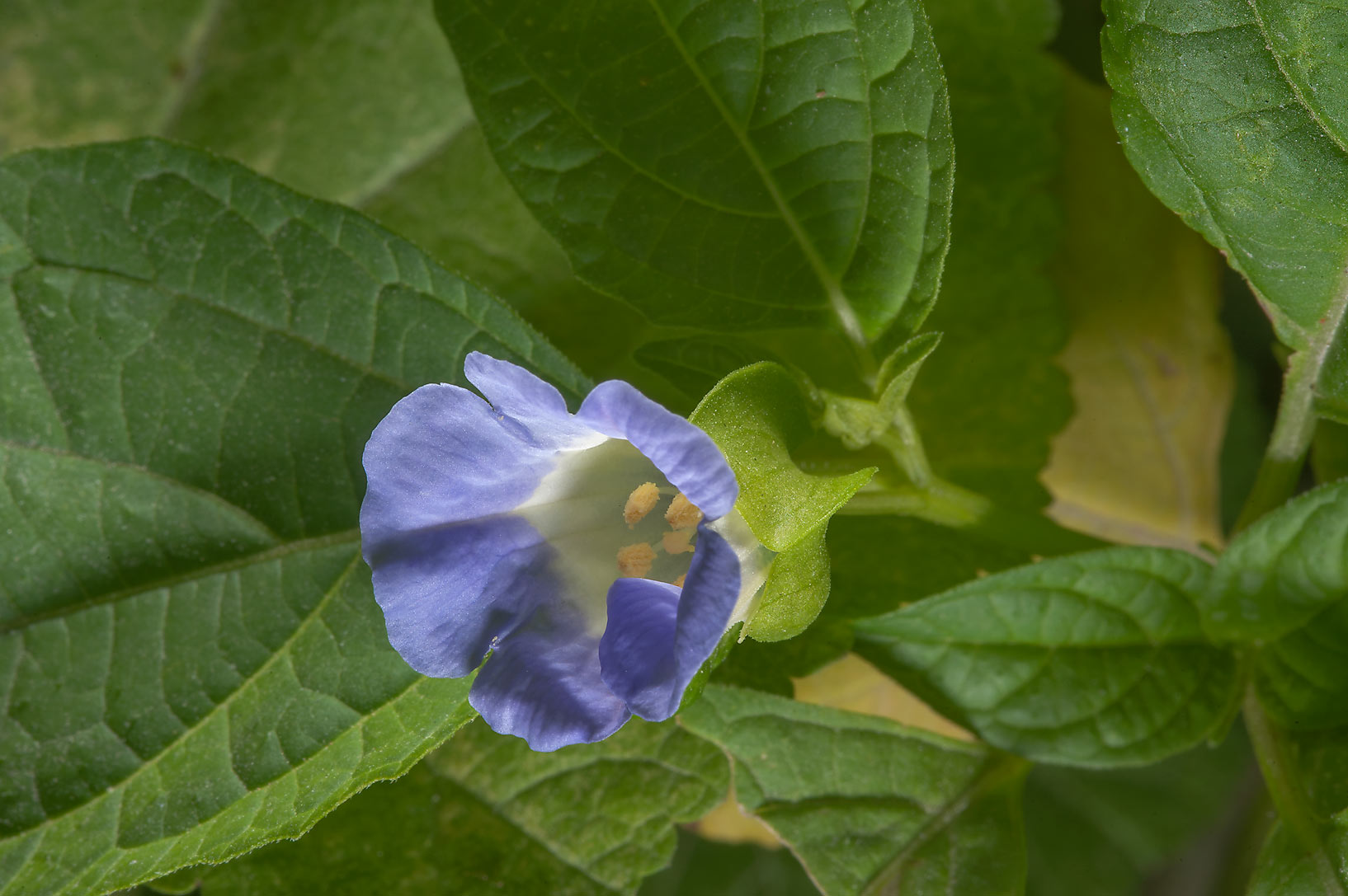 Flower of shoo-fly plant (Nicandra physalodes) in...St. in Al Luqta area. Doha, Qatar