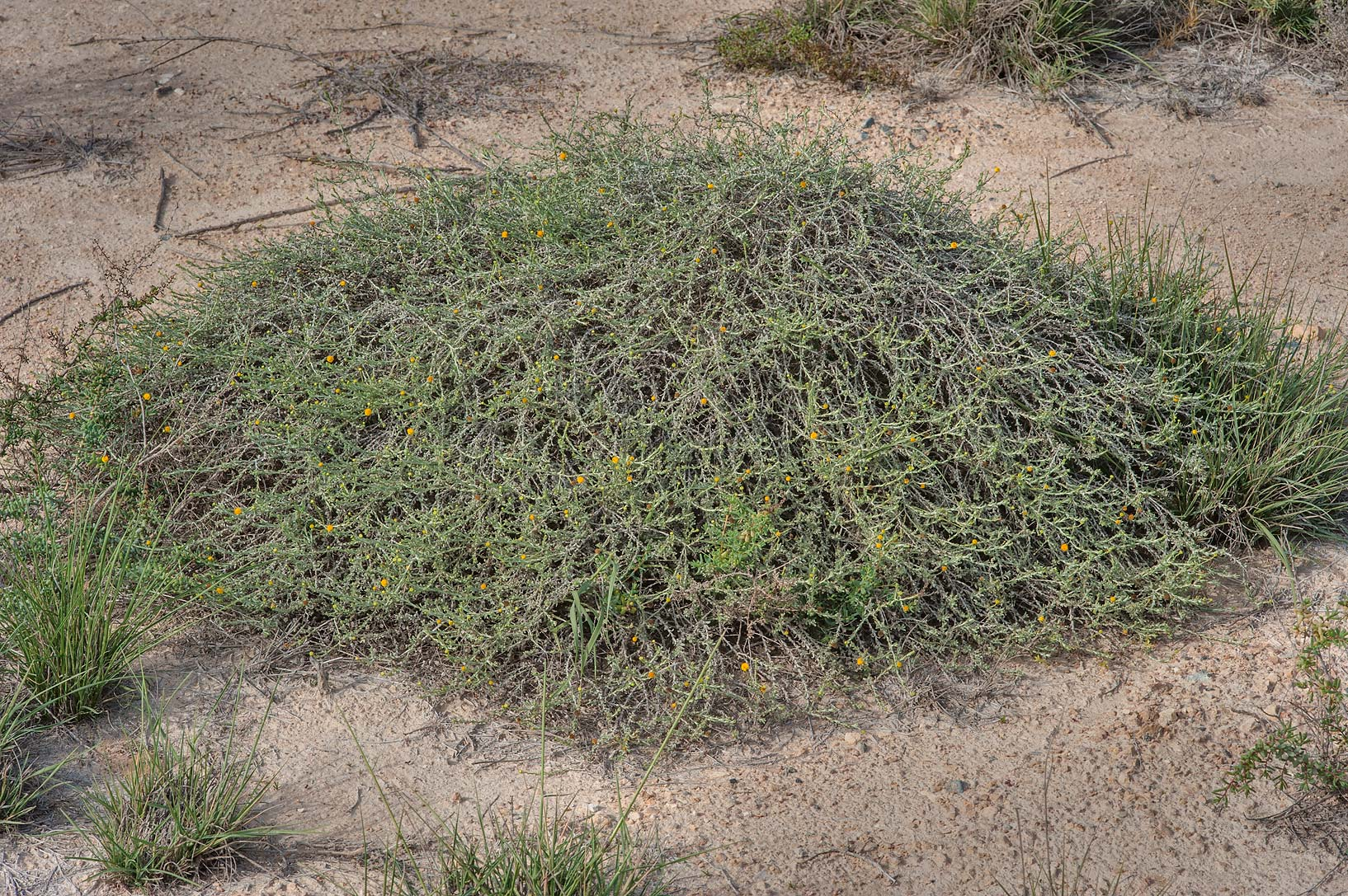 Plant of Pulicaria undulata with decumbent...water treatment plant. Al Khor, Qatar