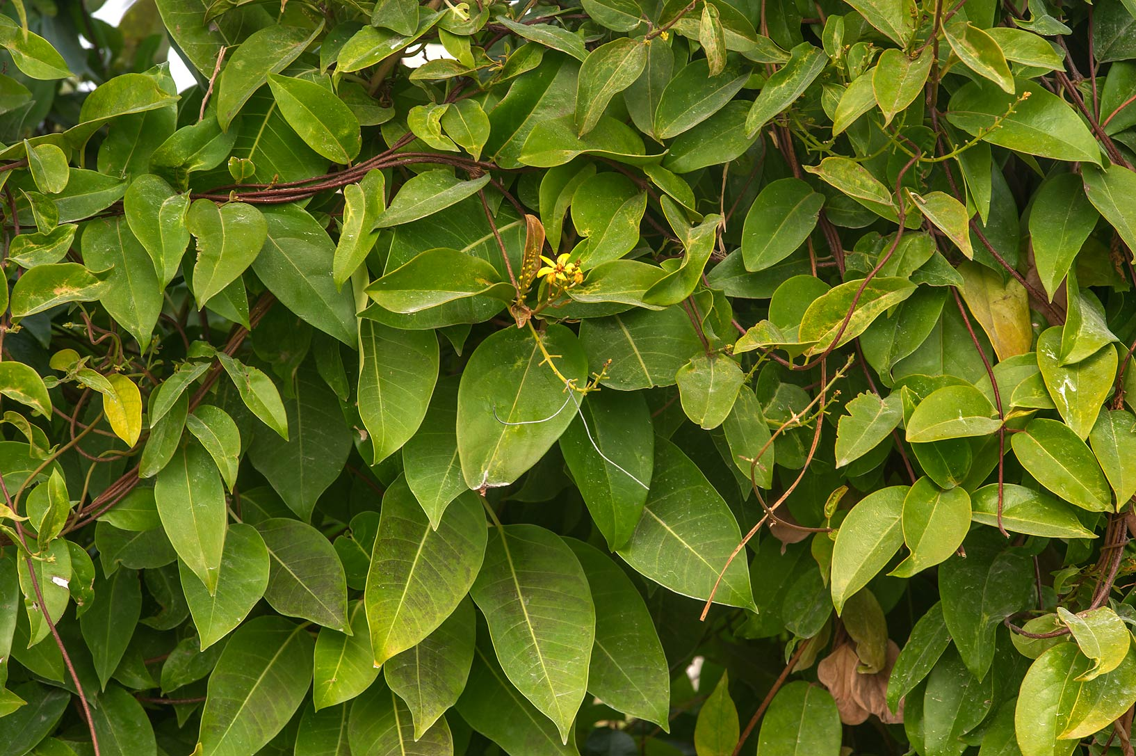 Climbing plant with yellow flowers in gardens of Sheraton Hotel in West Bay. Doha, Qatar