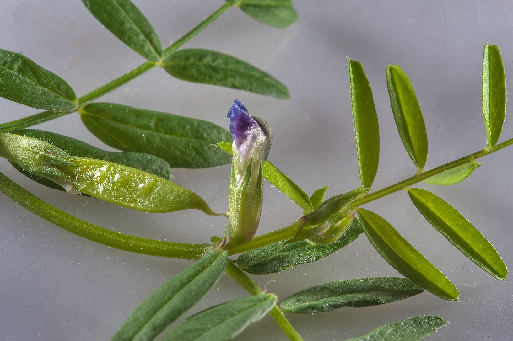 Hard vetch (Vicia monantha) with a flower and...St. in Onaiza area. Doha, Qatar