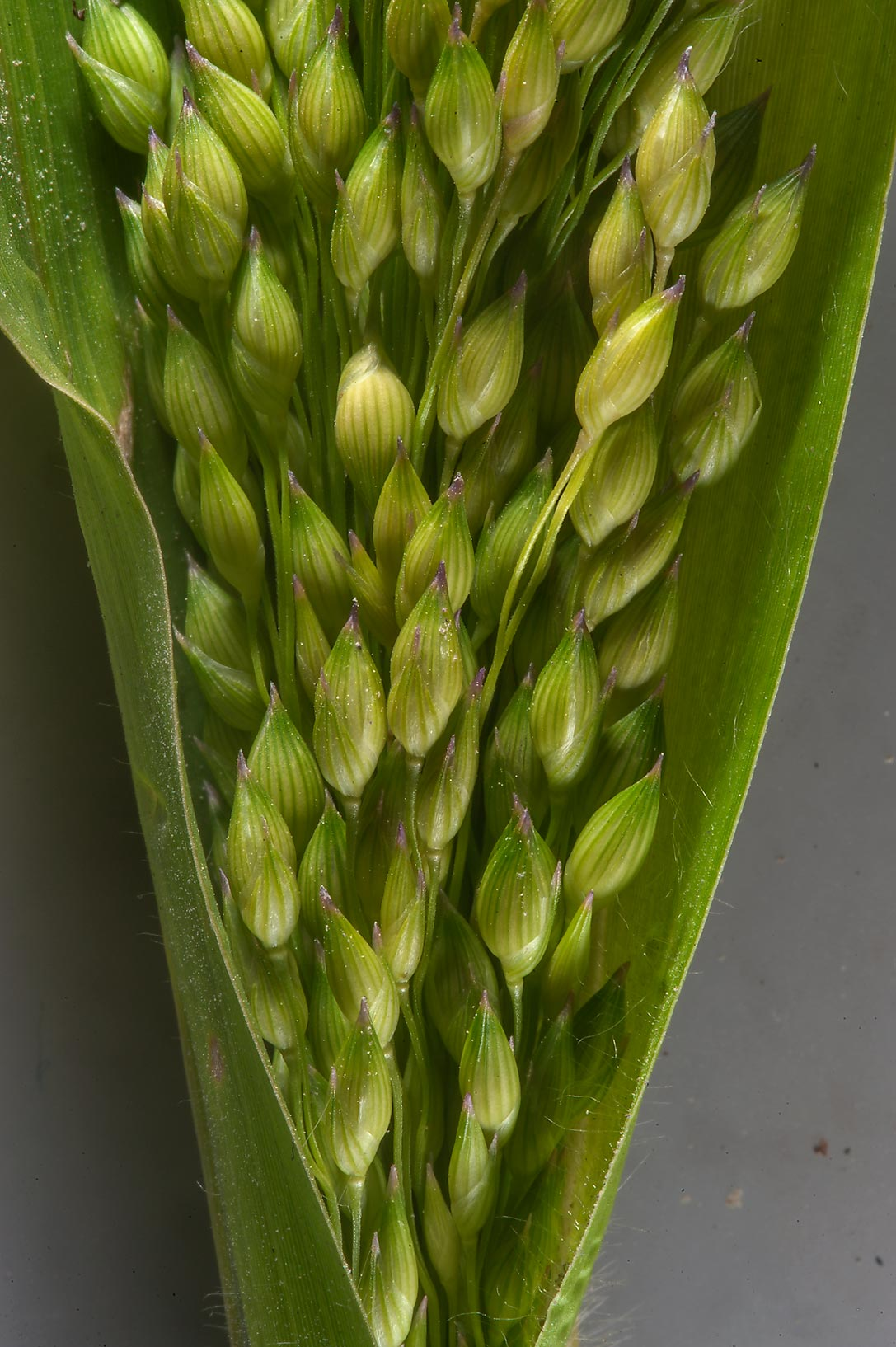 Close up of sudangrass (Sorghum sudanense...in Umm Lekhba area. Doha, Qatar