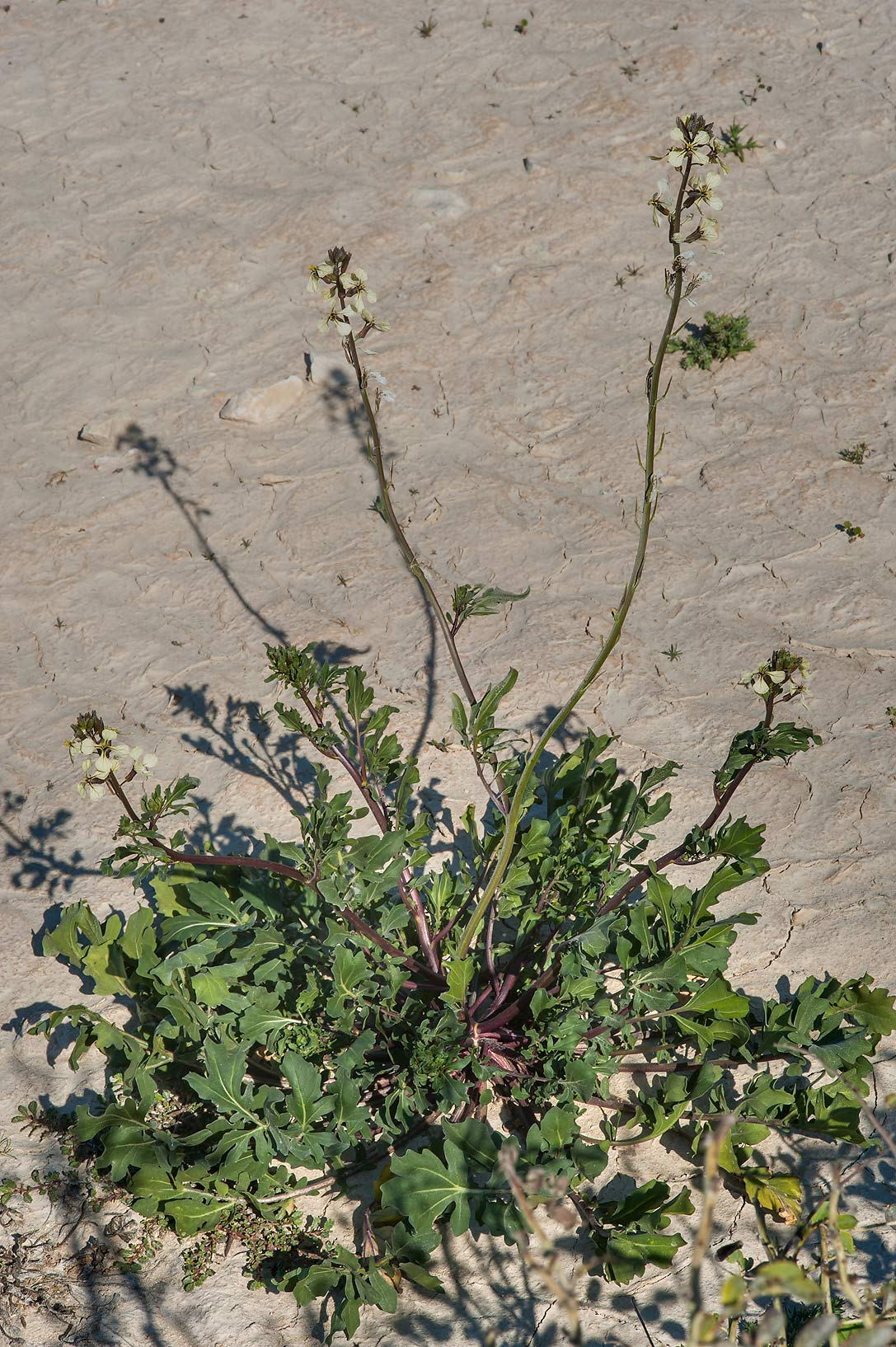 Blooming plant of Eruca vesicaria (rocket) in...depression near Dukhan Highway. Qatar