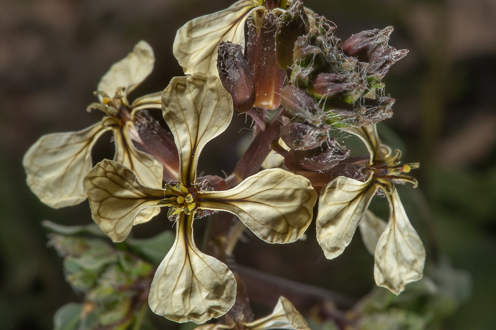 Close up of flowers of Eruca vesicaria (rocket...depression near Dukhan Highway. Qatar