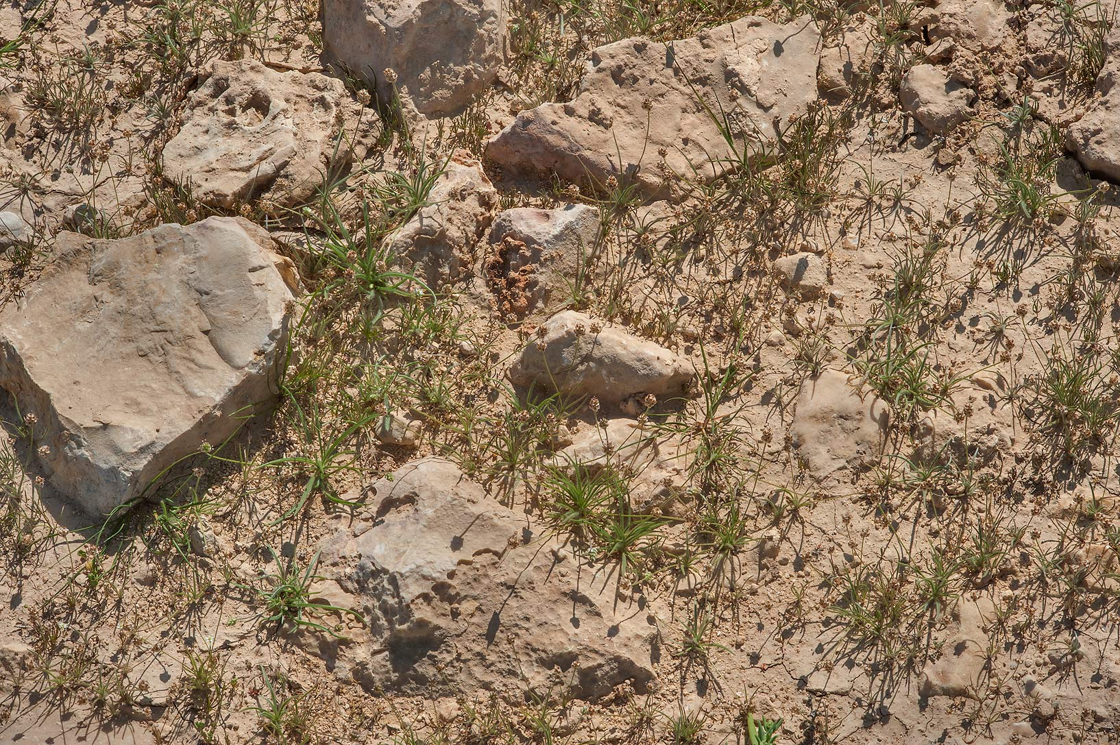 Desert indianwheat (Plantago ovata) on rocky soil...of Al Magdah farms. Northern Qatar