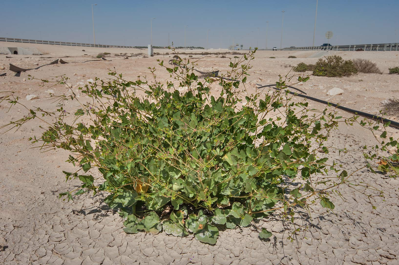Storkbill (Erodium glaucophyllum) on roadside of Al Shamal Rd.. Northern Qatar