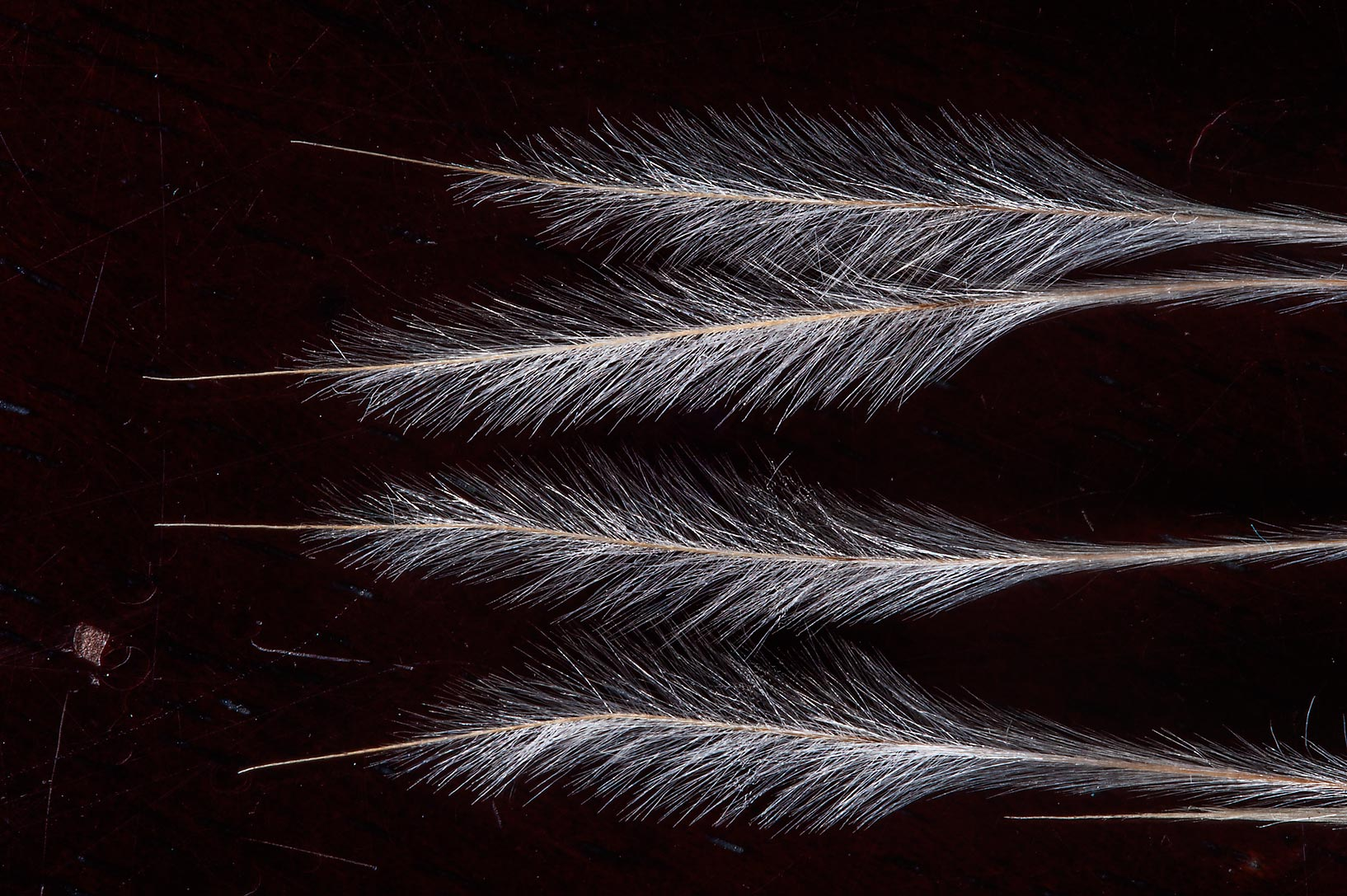 Feathery awns of slender grass Stipagrostis...of Jebel Fuwairit. Northern Qatar