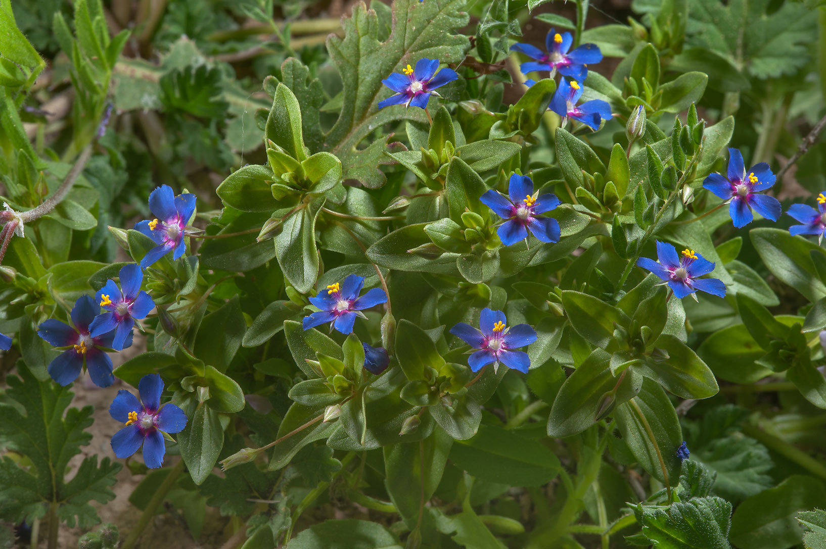 Scarlet pimpernel (Anagallis arvensis var...Farms, on north-eastern coast. Qatar