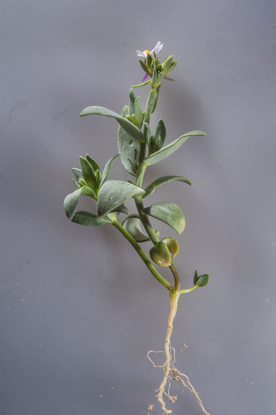 Plant of Linaria albifrons extracted from a...from Ras Laffan. North-eastern Qatar
