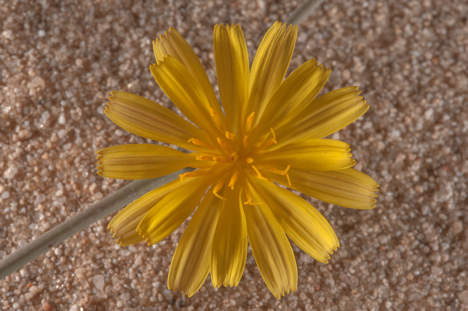Flower of Launaea mucronata in a runnel north from Dukhan. Qatar