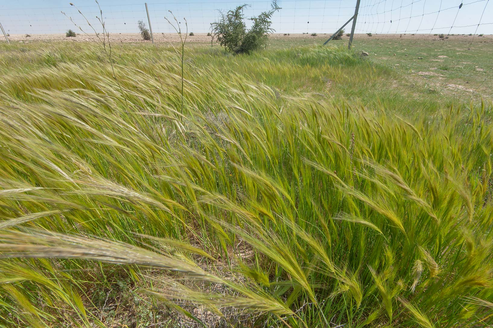 Wide angle view of a field of spear grass (Stipa...depression of Khawzan Rd.. Qatar