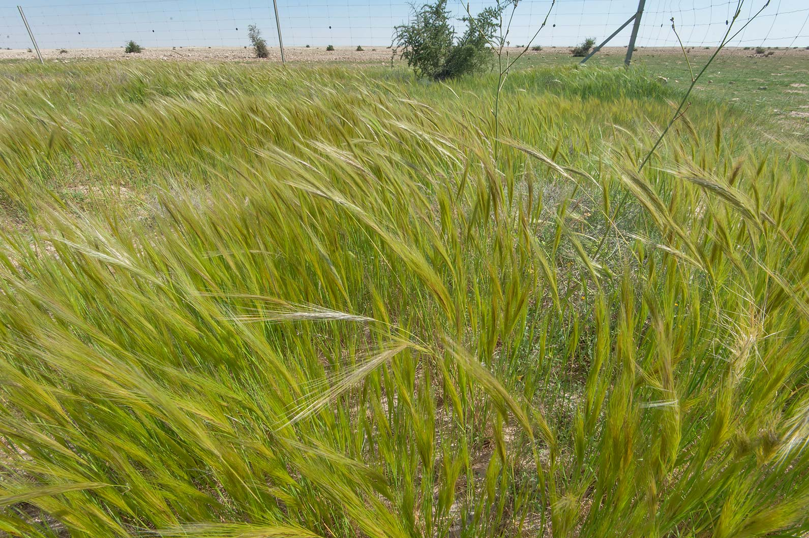 Dense stand of spear grass (Stipa capensis) in a roadside depression of Khawzan Rd.. Qatar