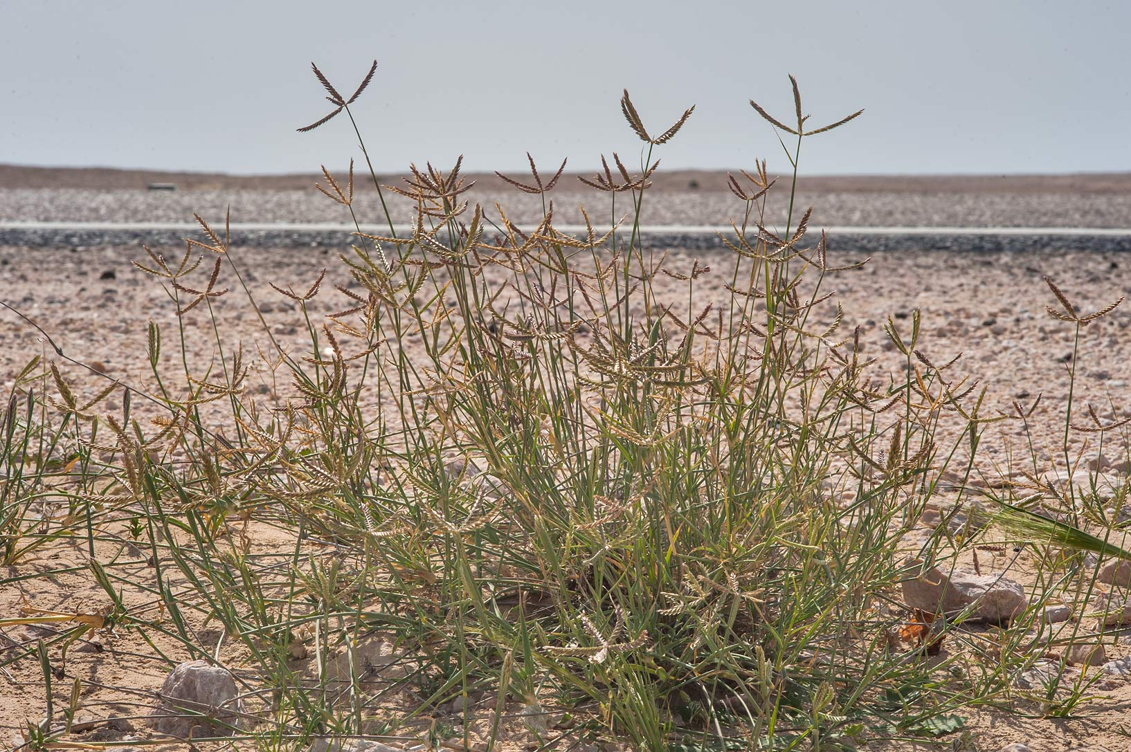 Wire grass Ochthochloa compressa (local name...Sawda Natheel Rd.. Southern Qatar
