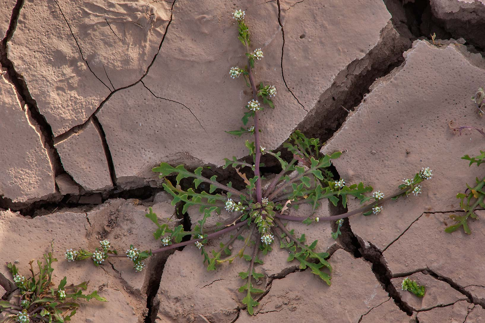 Plant of pepper-grass (Lepidium aucheri) on mud...of Al Magdah farms. Northern Qatar