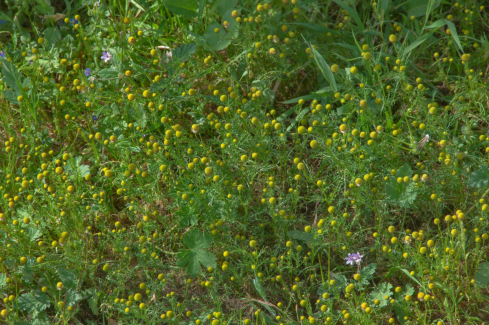 Golden chamomile (Matricaria aurea) in Yoodah...near Al Zubara Rd.. Northern Qatar