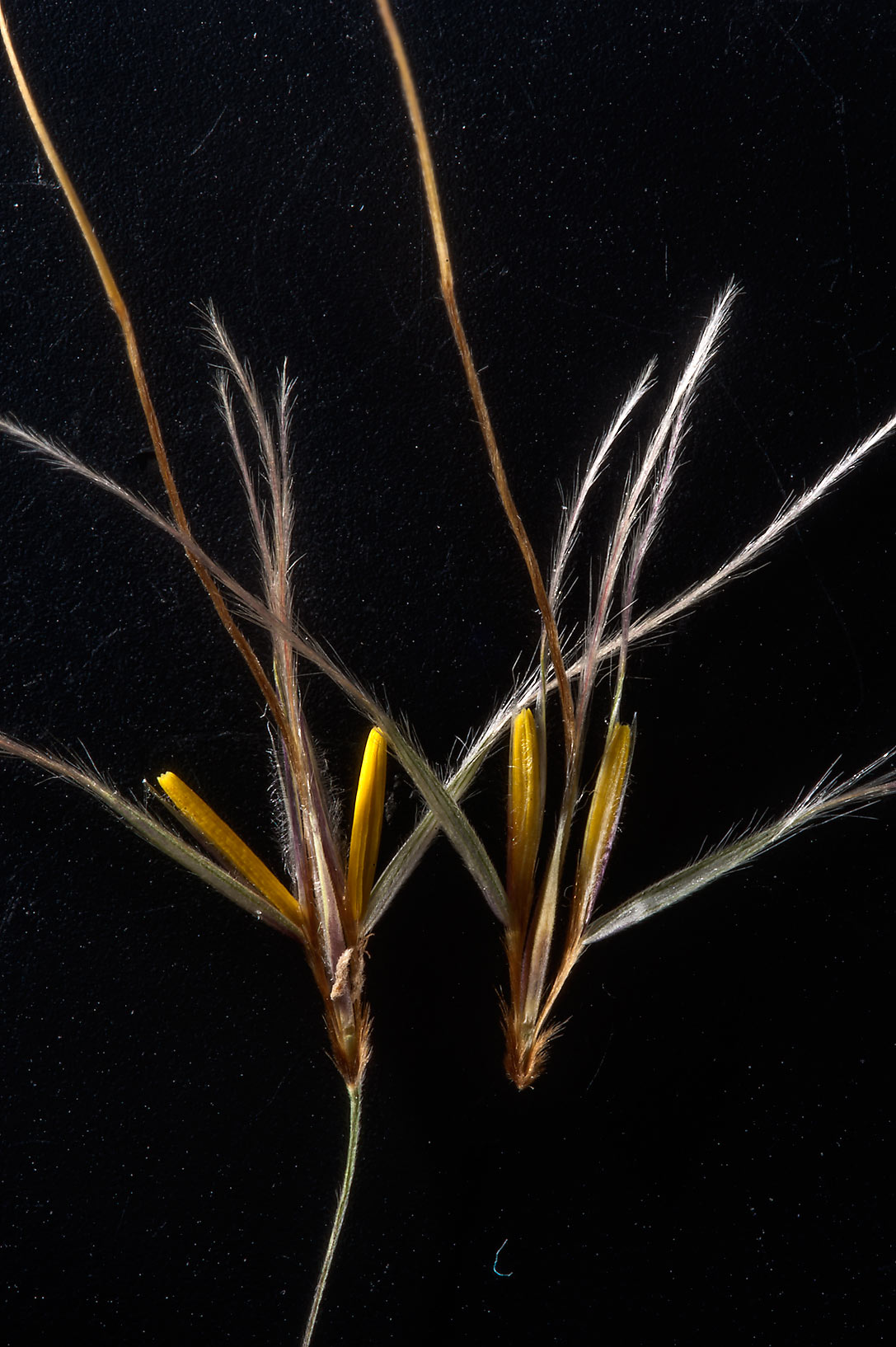 Opened spikelets of grass Chrysopogon plumulosus...near Al Zubara Rd. in northern Qatar