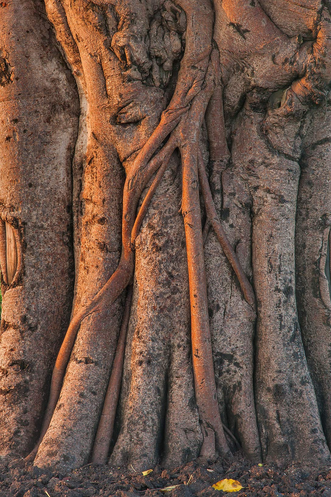 Entangled branches of fig tree (Ficus altissima) on its trunk in Aspire Park. Doha, Qatar