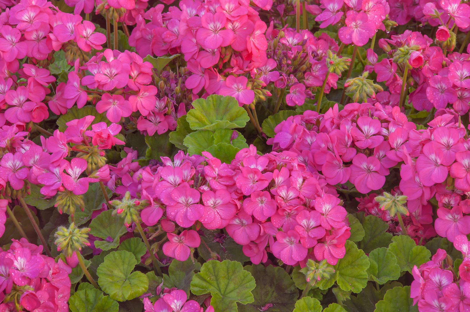 Pink flowers of pelargonium in Aspire Park. Doha, Qatar