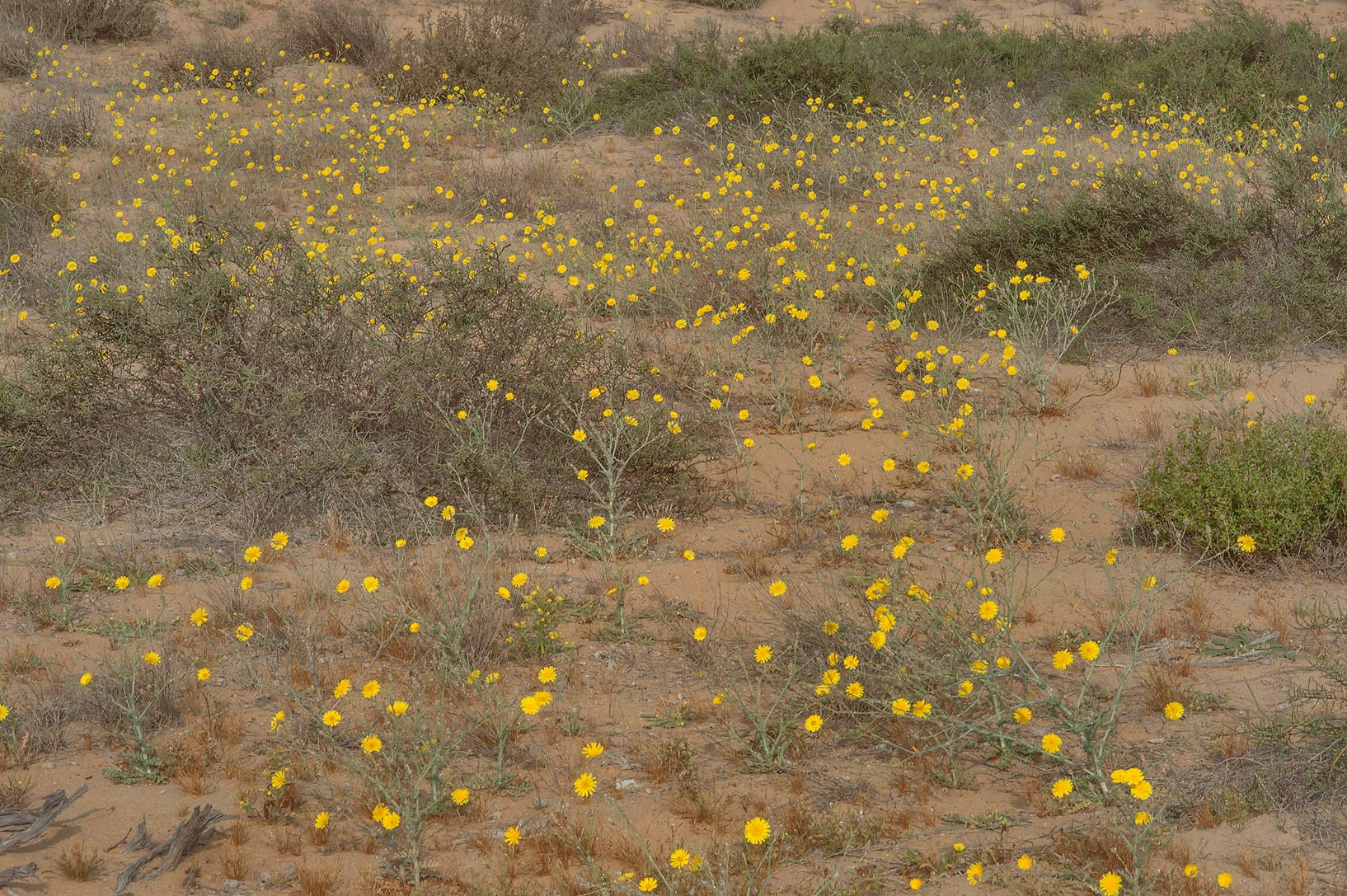 Carpet of yellow flowers of Launaea mucronata...Reserve near Abu Samra. Southern Qatar